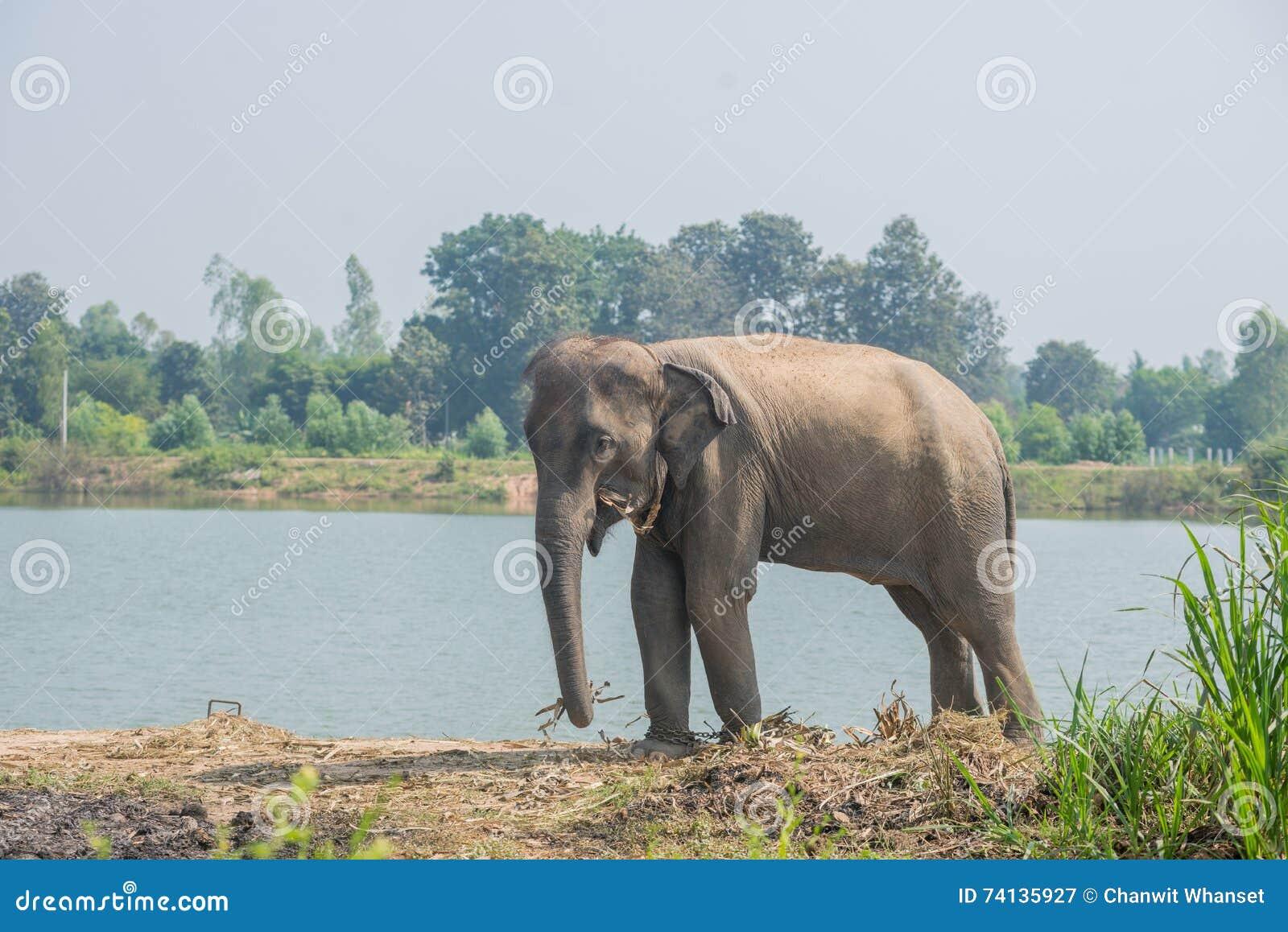 Azjatycki słoń w lesie, surin, Tajlandia