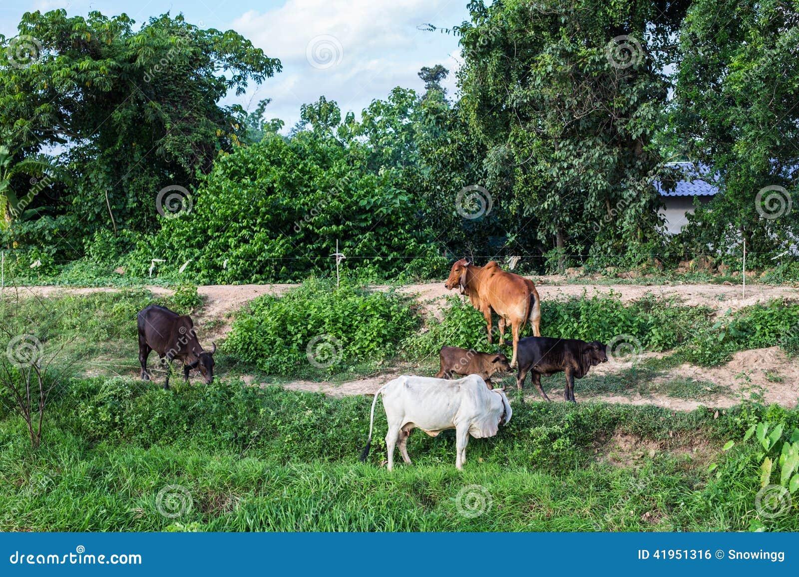 Azjatyckie krowy w polu przy gospodarstwem rolnym w Nakhon Ratchasima, Tajlandia