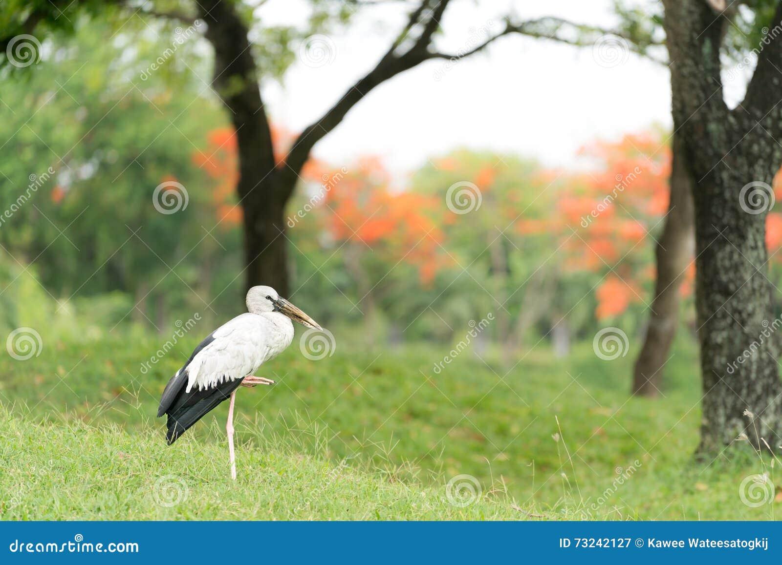 Azjatyckiego openbill bocianowy ptasi trwanie w zielonym lesie samotnie