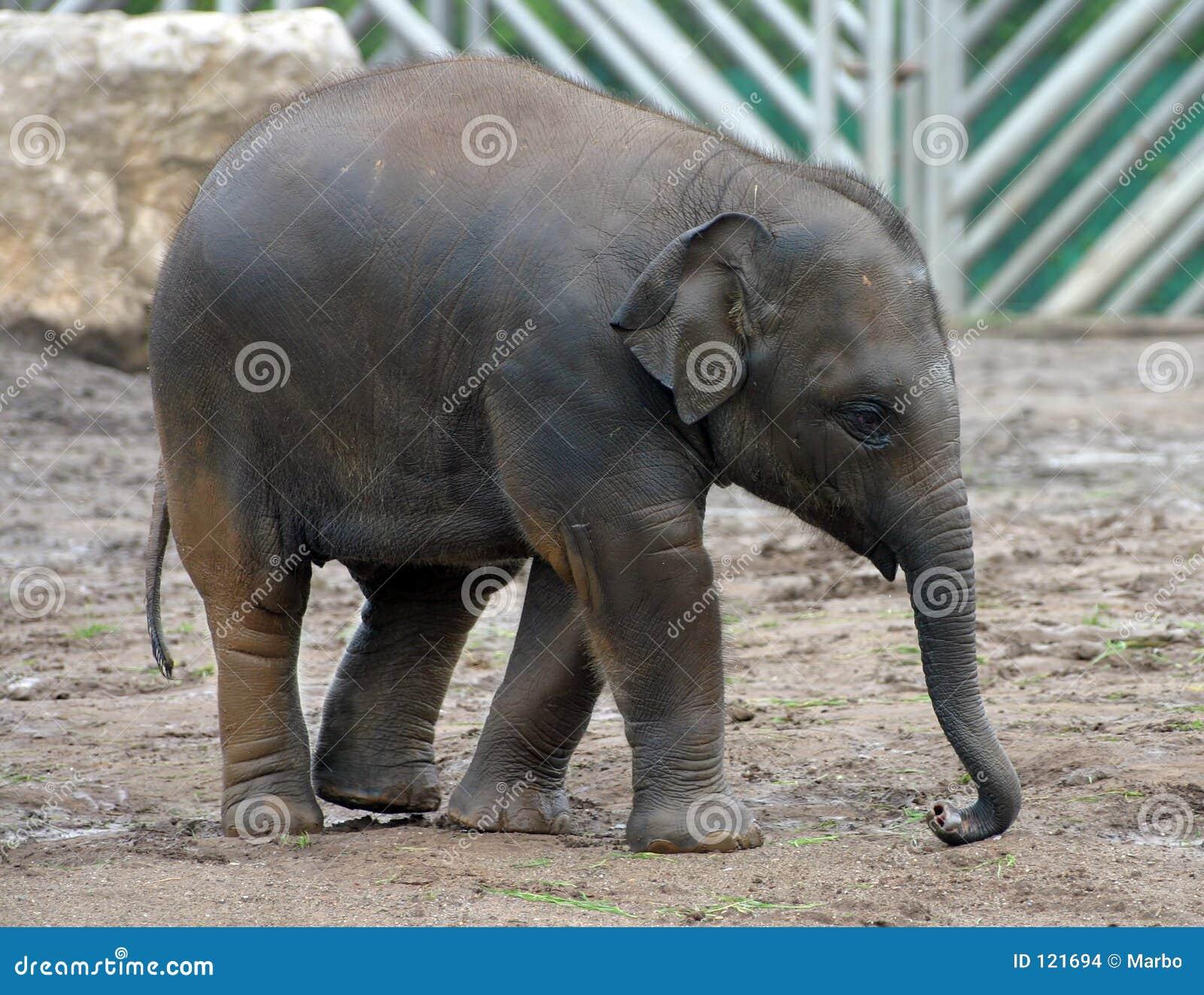 Azjatykci słonia
