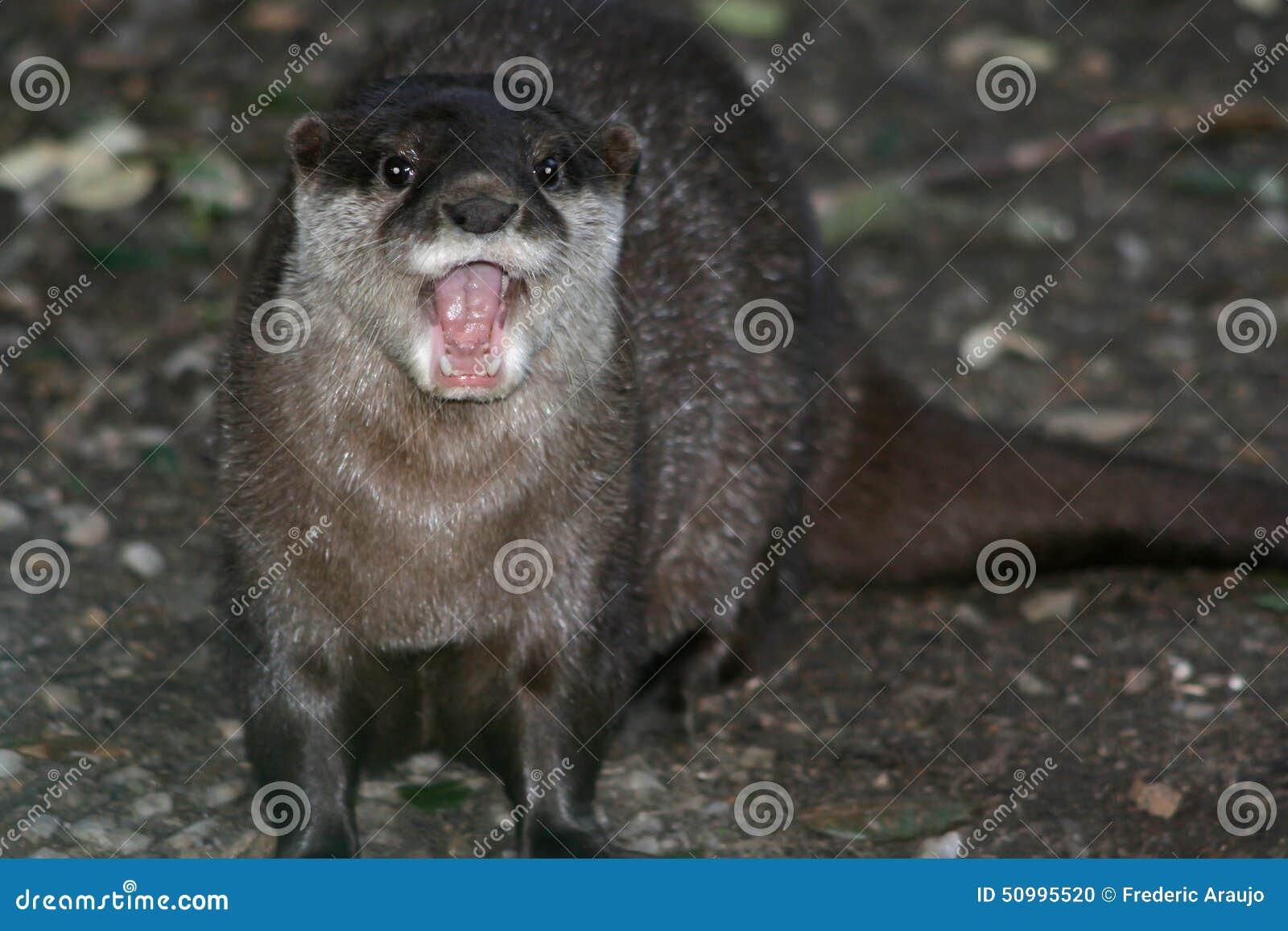 Azjatykcia drapająca wydra gdera przy zoo sobóle (Francja)