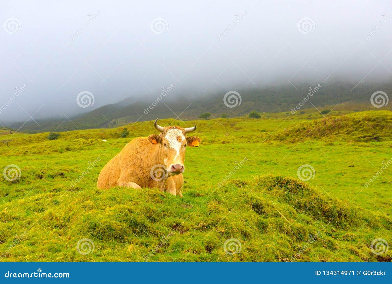 Azores - Pico island cow, Farm Animals in the wild, Stormy dark day