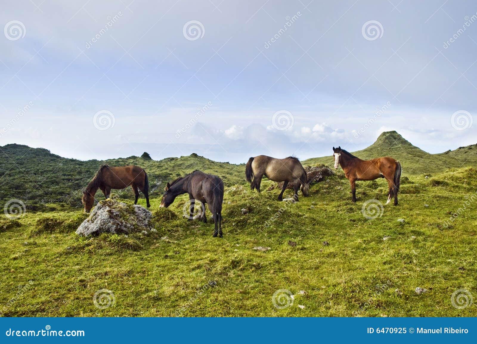Azory, wyspy pico pastwiskowy koni.
