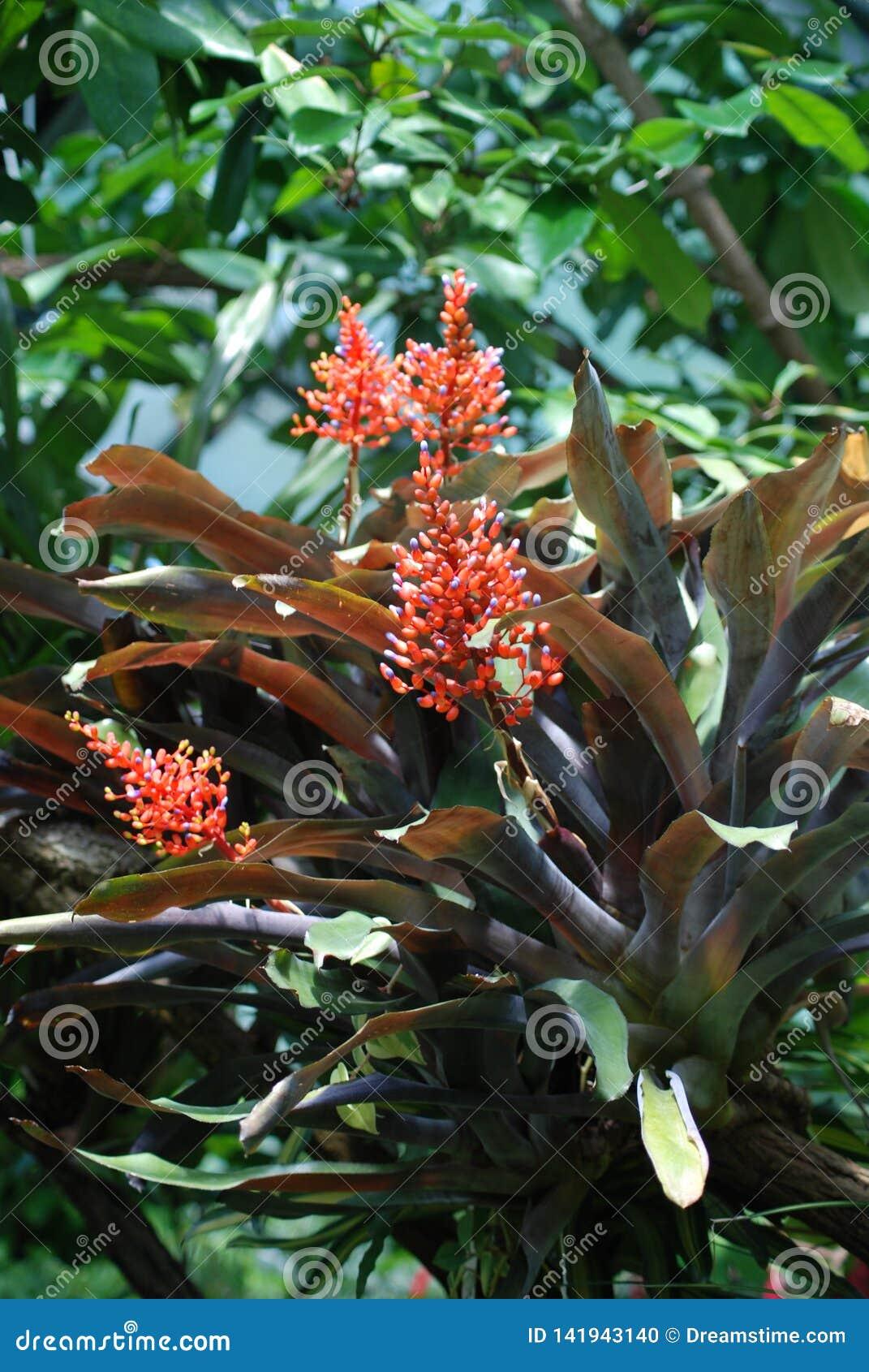 Azteka «prezent bogowie - Koralowy czerwony kwitnący bromelia w ogródzie botanicznym