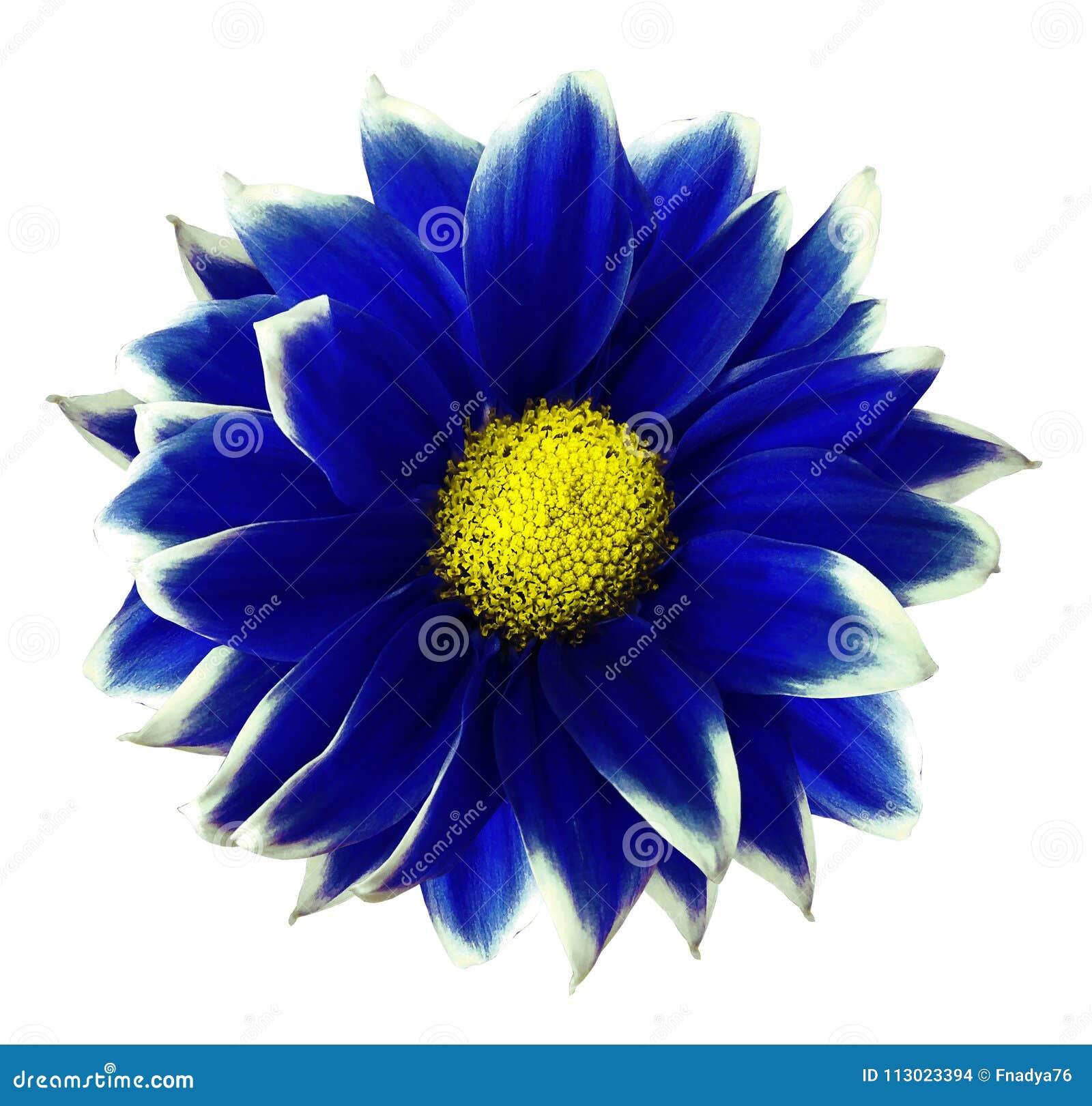 Azul do crisântemo Floresça no fundo branco isolado com o trajeto de grampeamento sem sombras Close-up Para o projeto