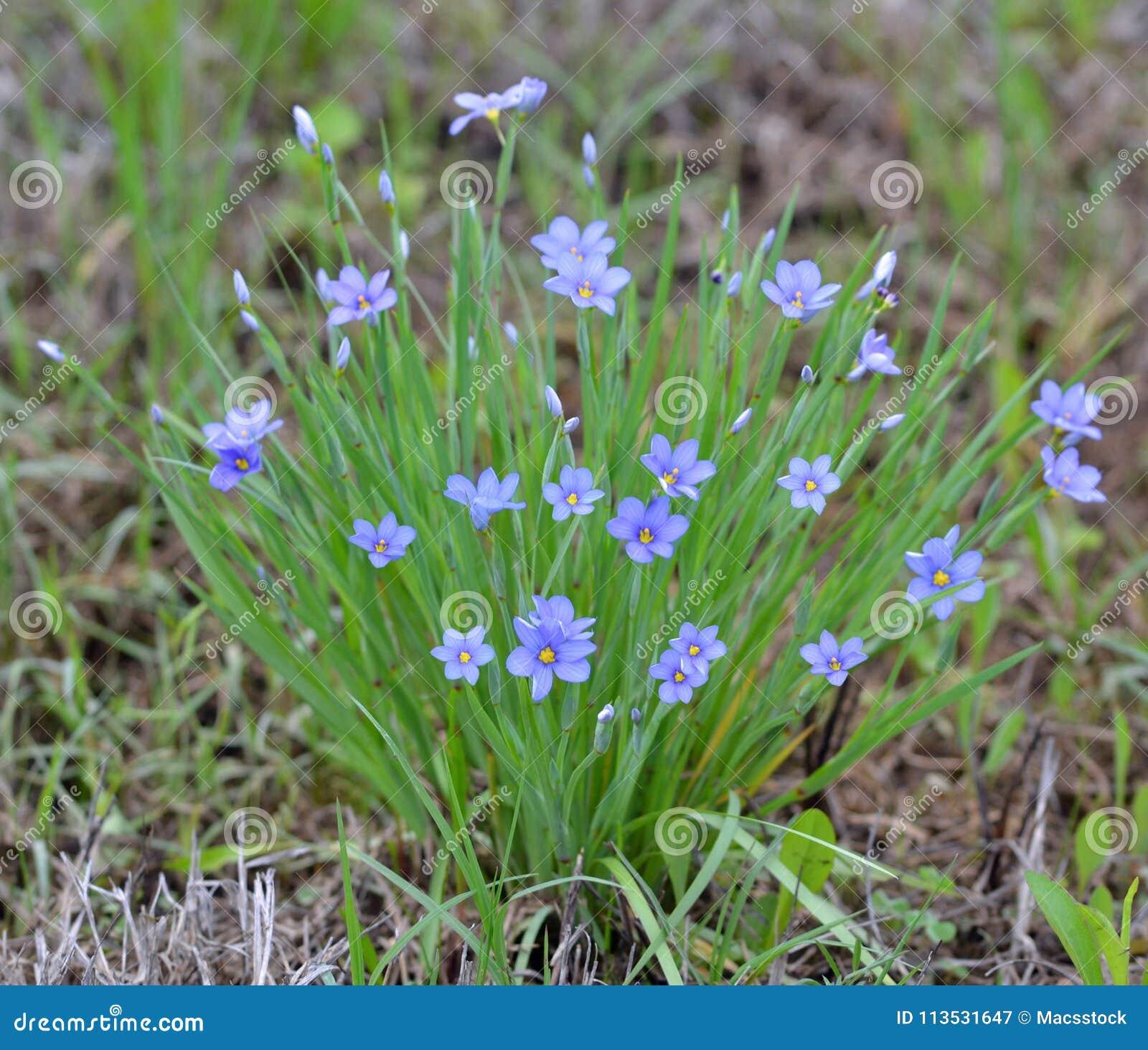 Azul típico flores e crescimento Eyed da grama