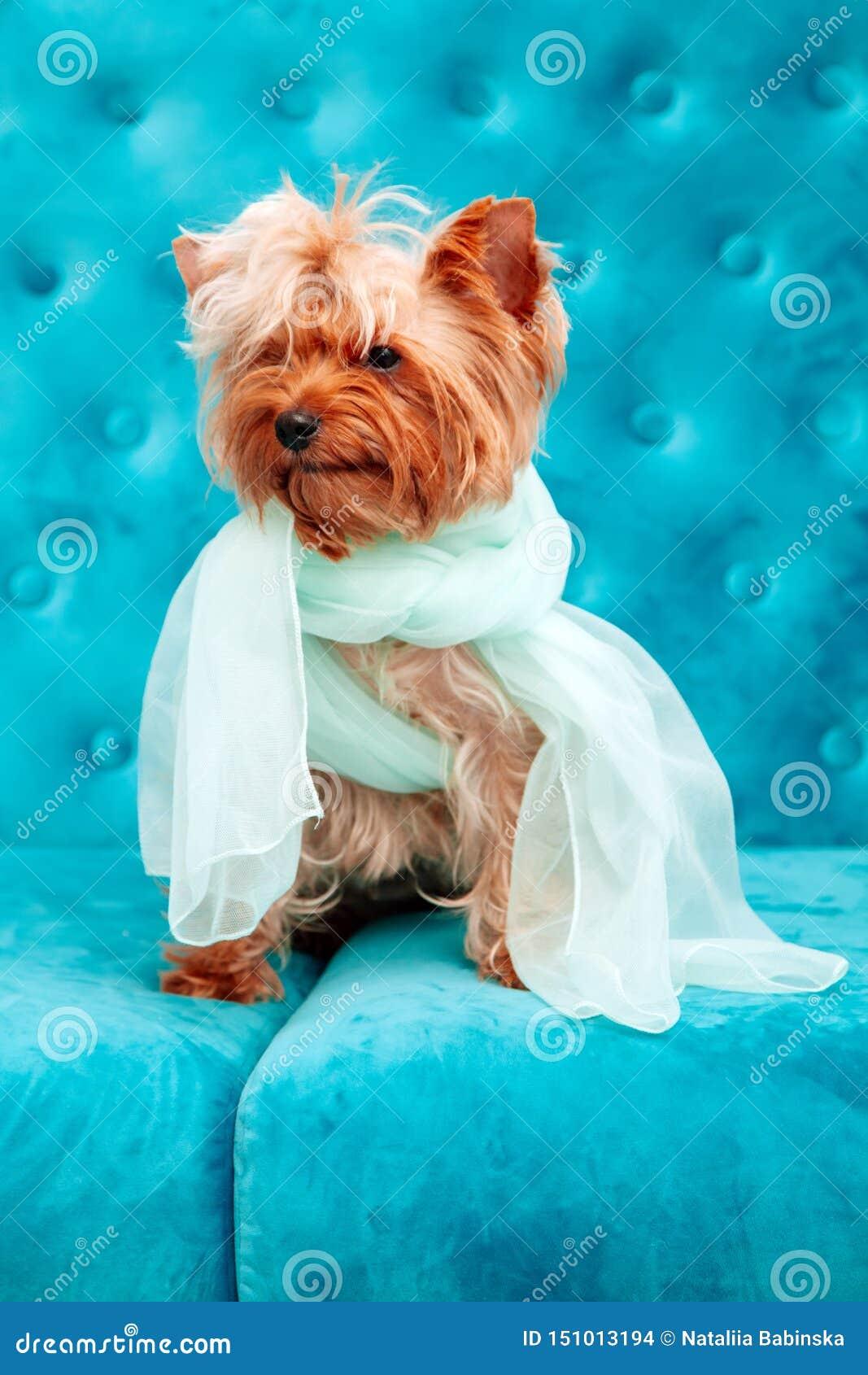 Azul azul tiffany da curva do sofá do terrier do animal de estimação do cão da cor de turquesa do sofá canino da sessão de foto