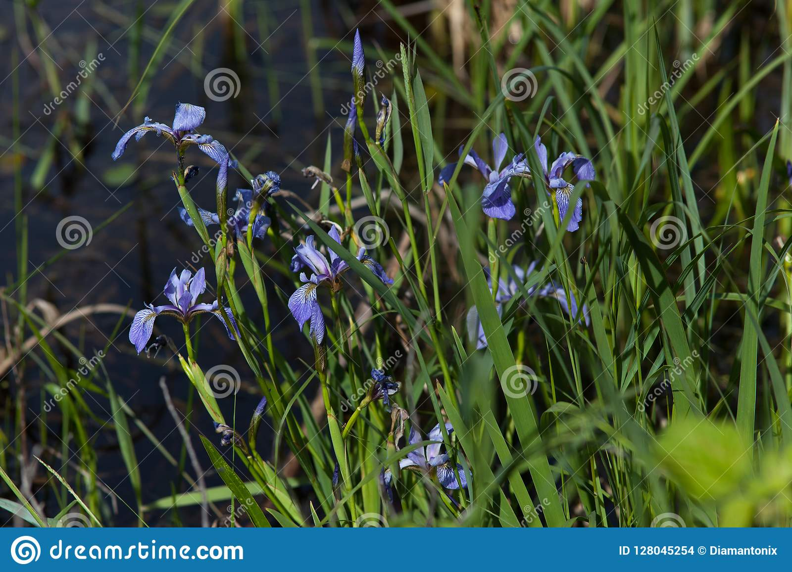 Azul vivo floreciente del iris salvaje en el pantano