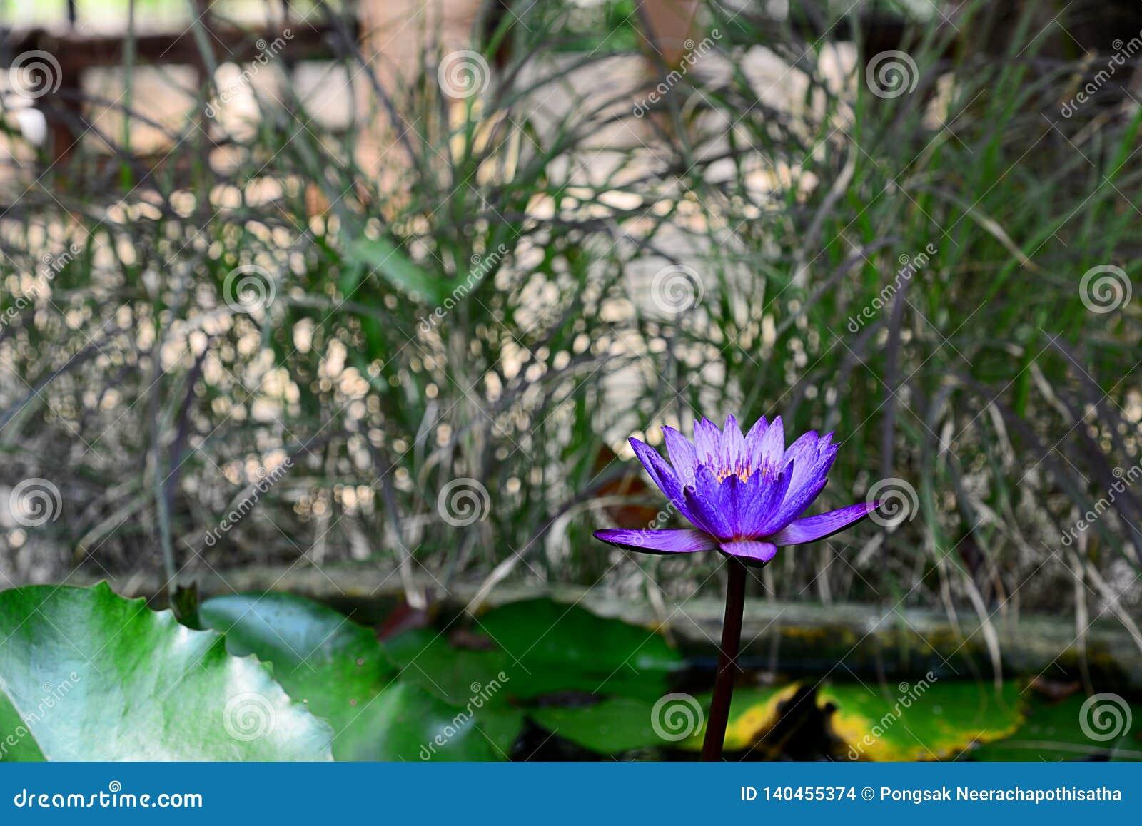 Azul y Violet Nymphaea Lotus florecientes con el fondo borroso