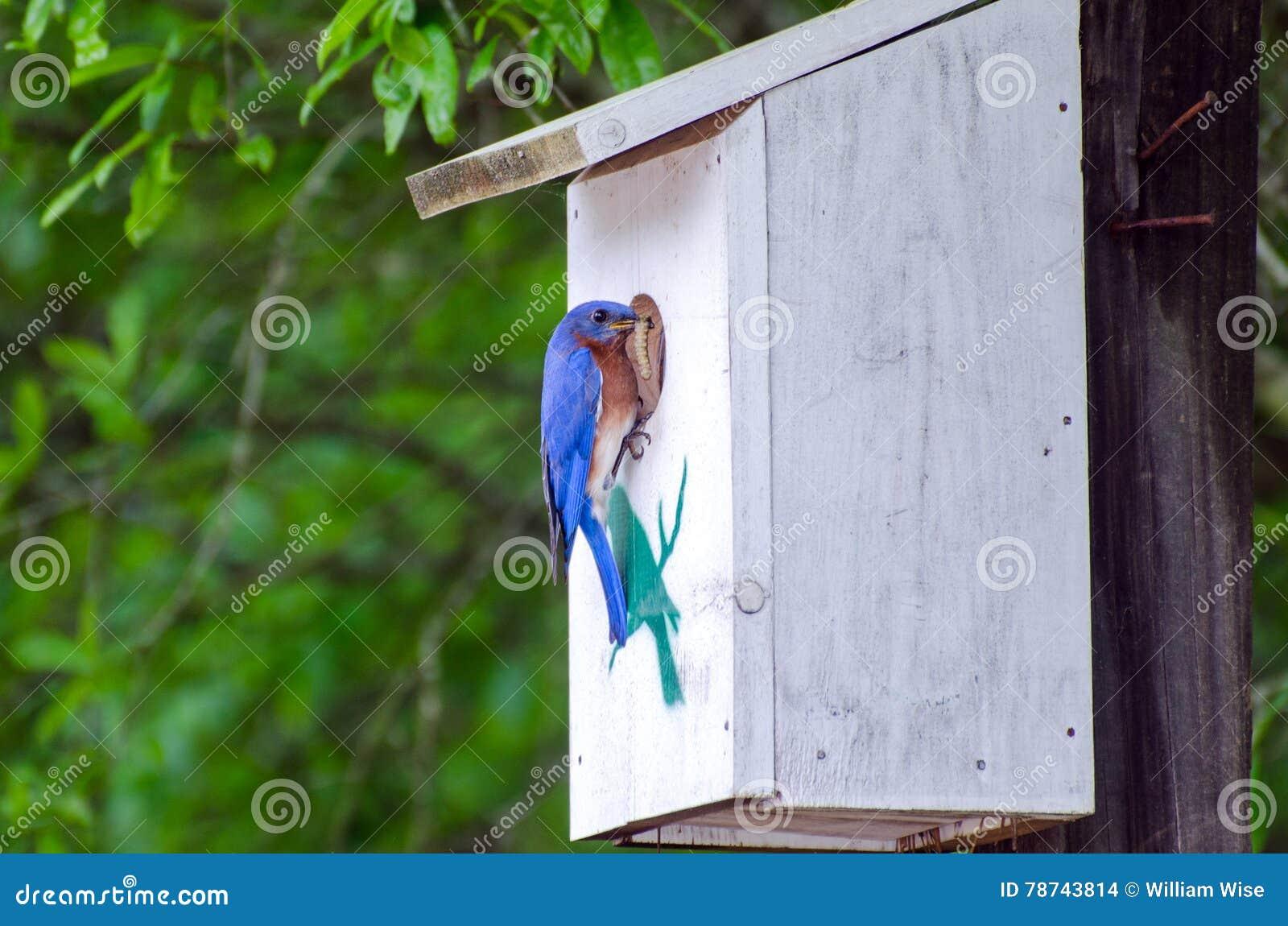 Azulejo del este en el nidal