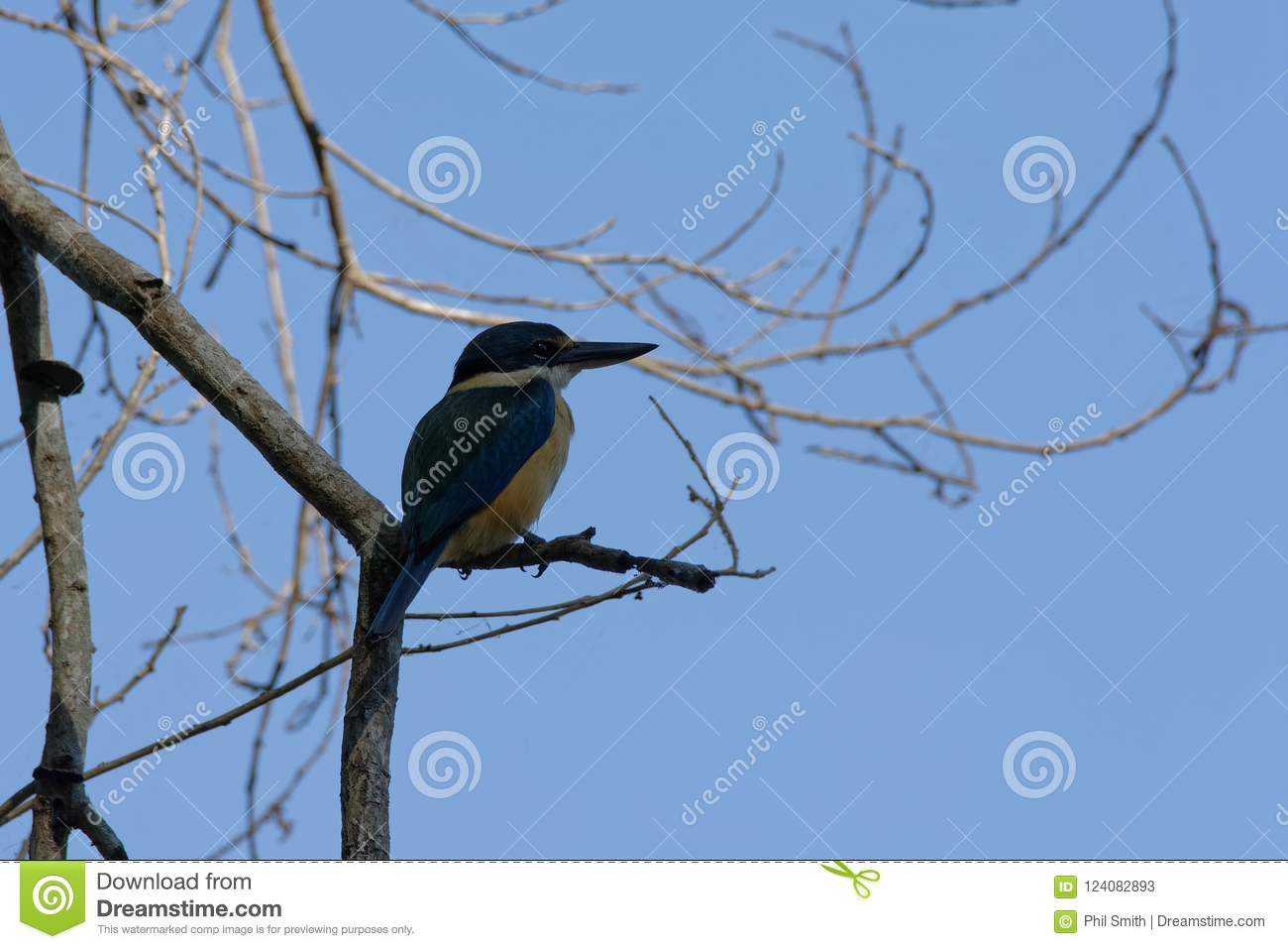 A Sacred Kingfisher Watching For Food