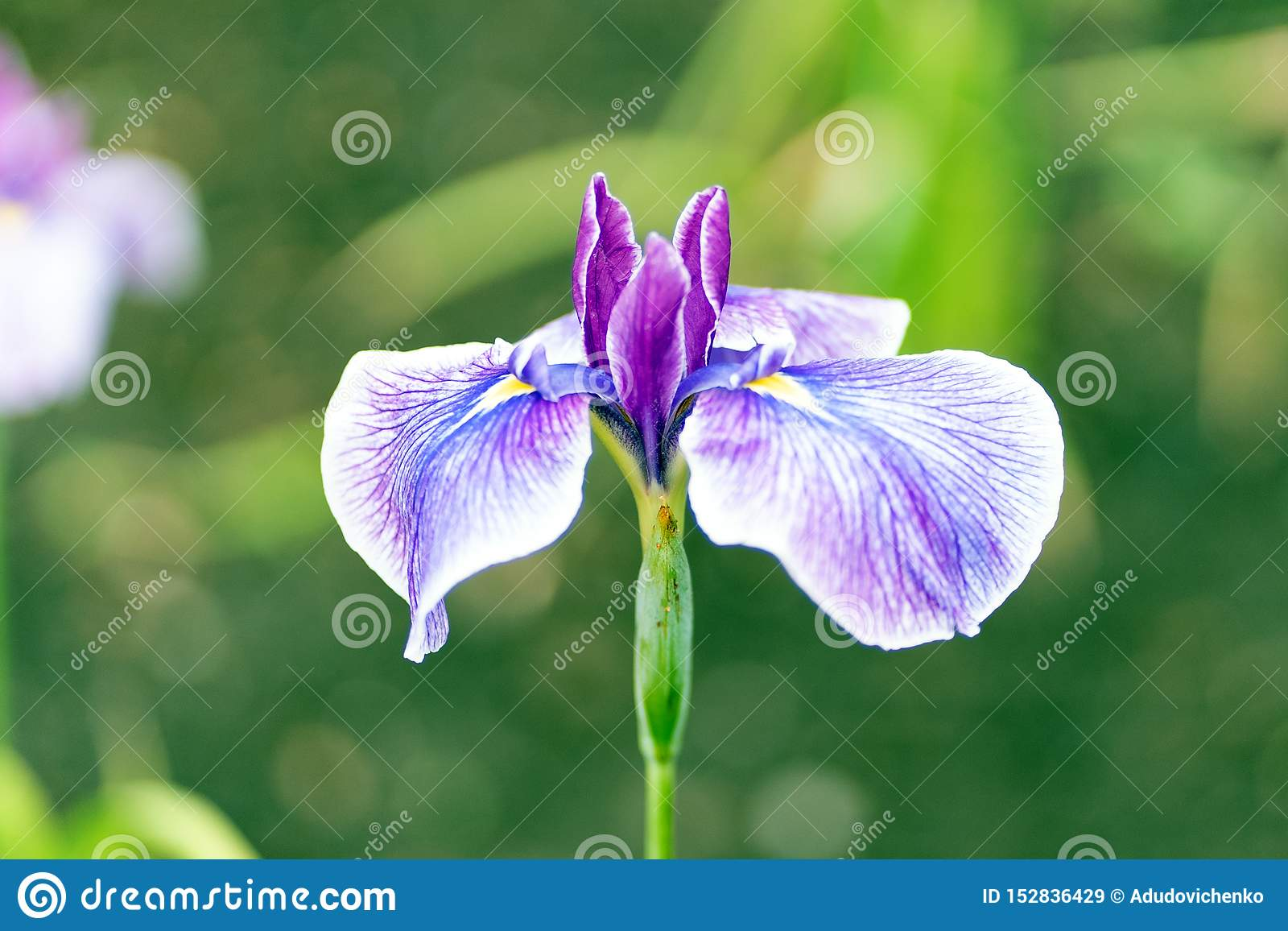 Azuurblauwe lillies in dichte omhooggaande stijl, zachte nadruk