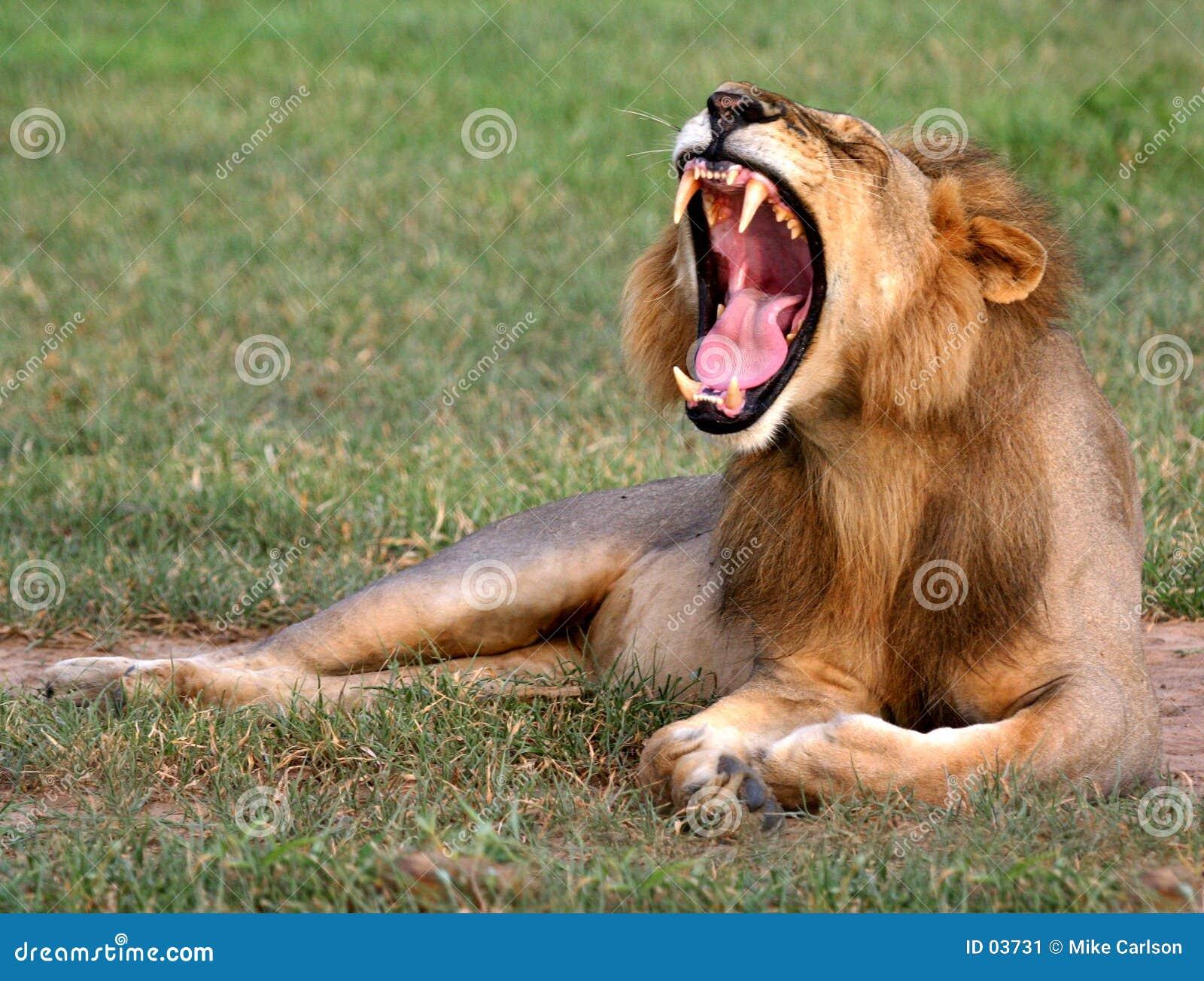 Bâillement de lion