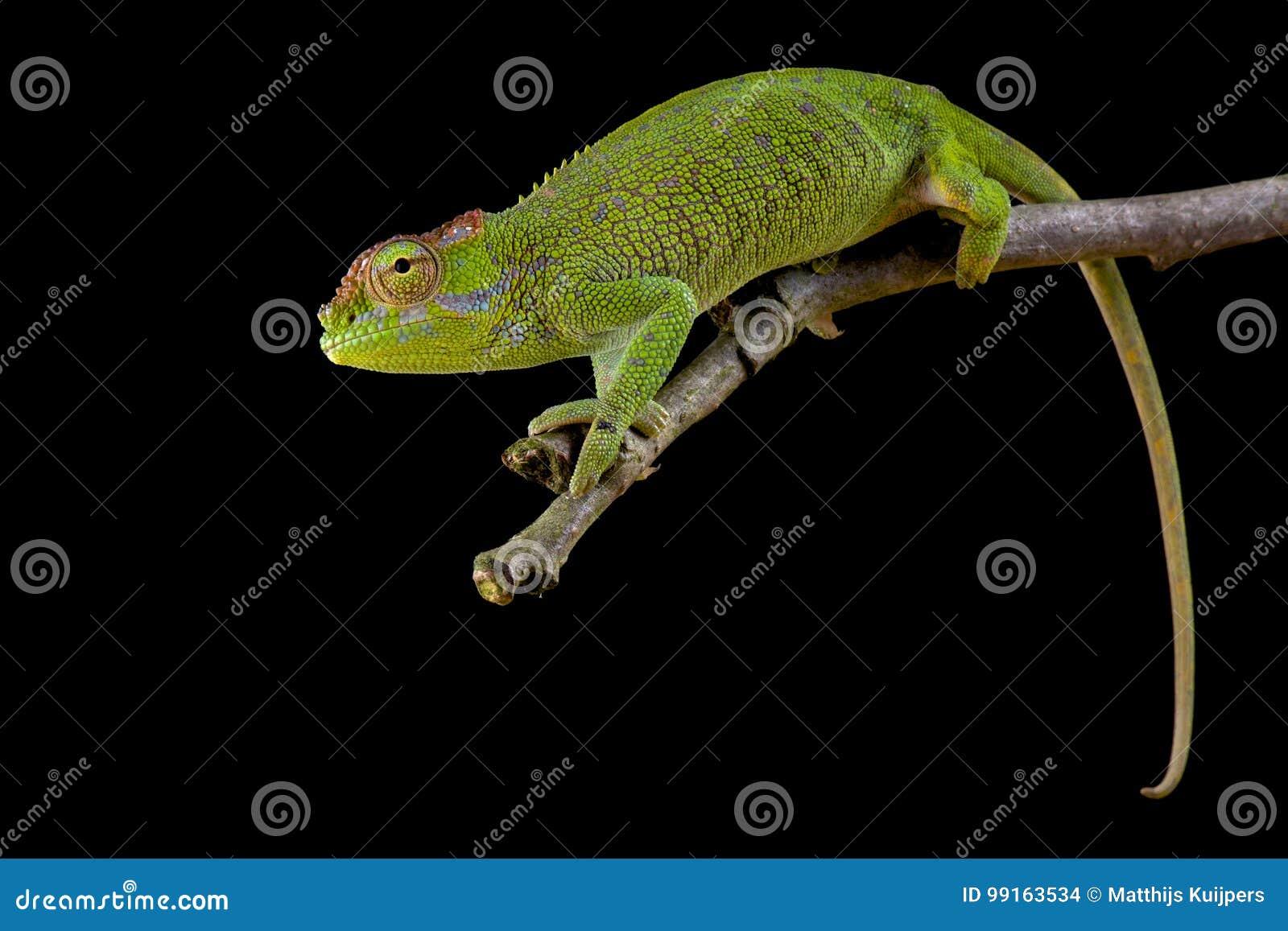 Böhme's Two-horned Chameleon, Kinyongia boehmei