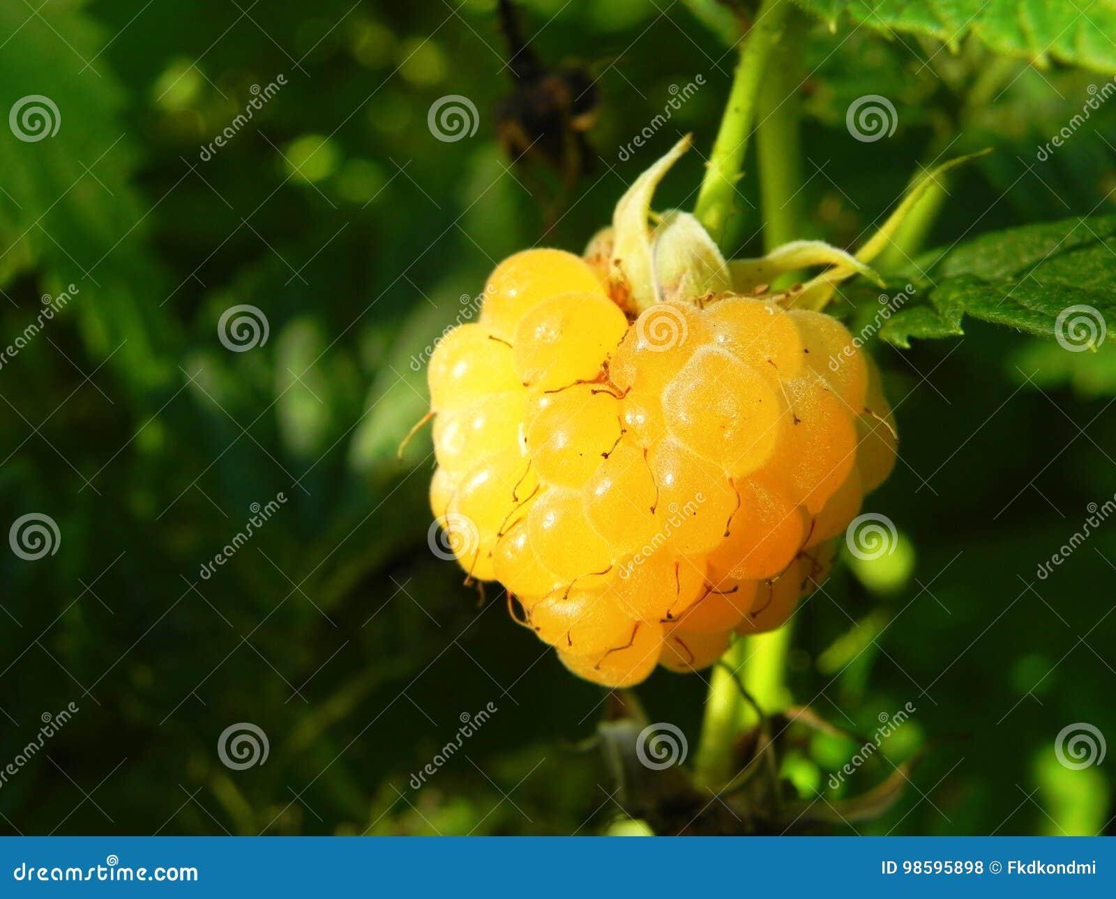 buske med gula bär