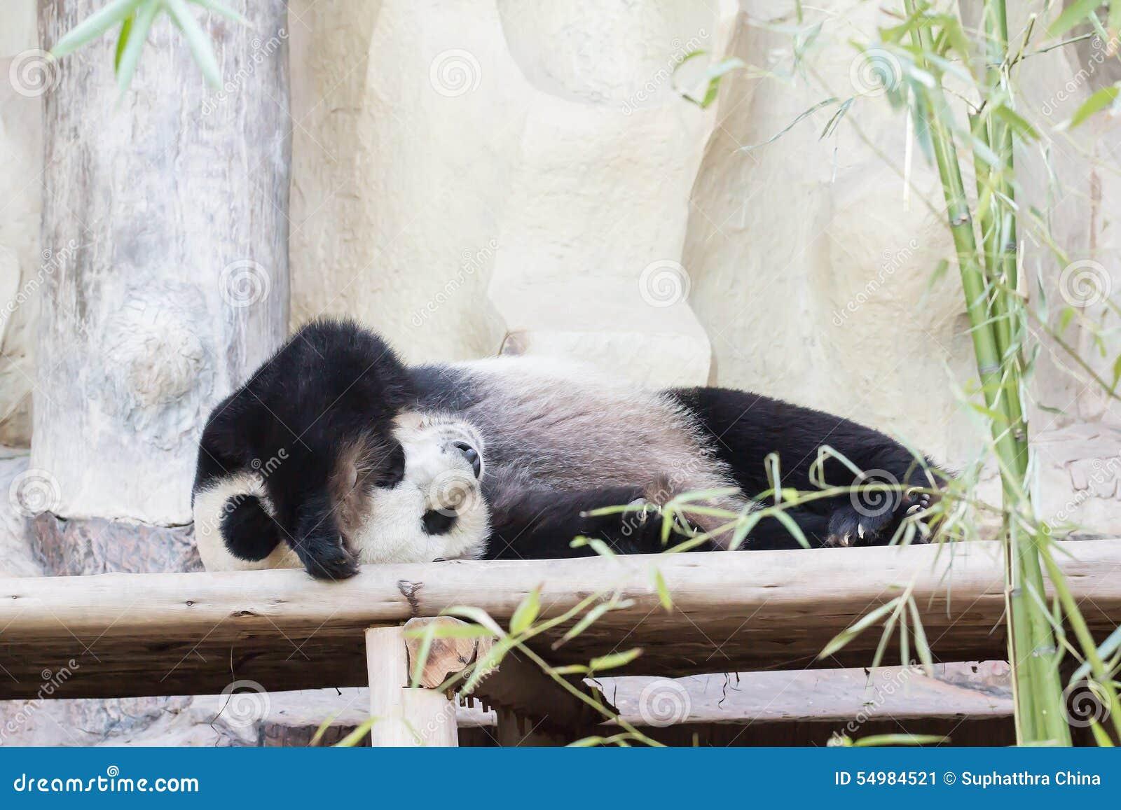 Bär des riesigen Pandas