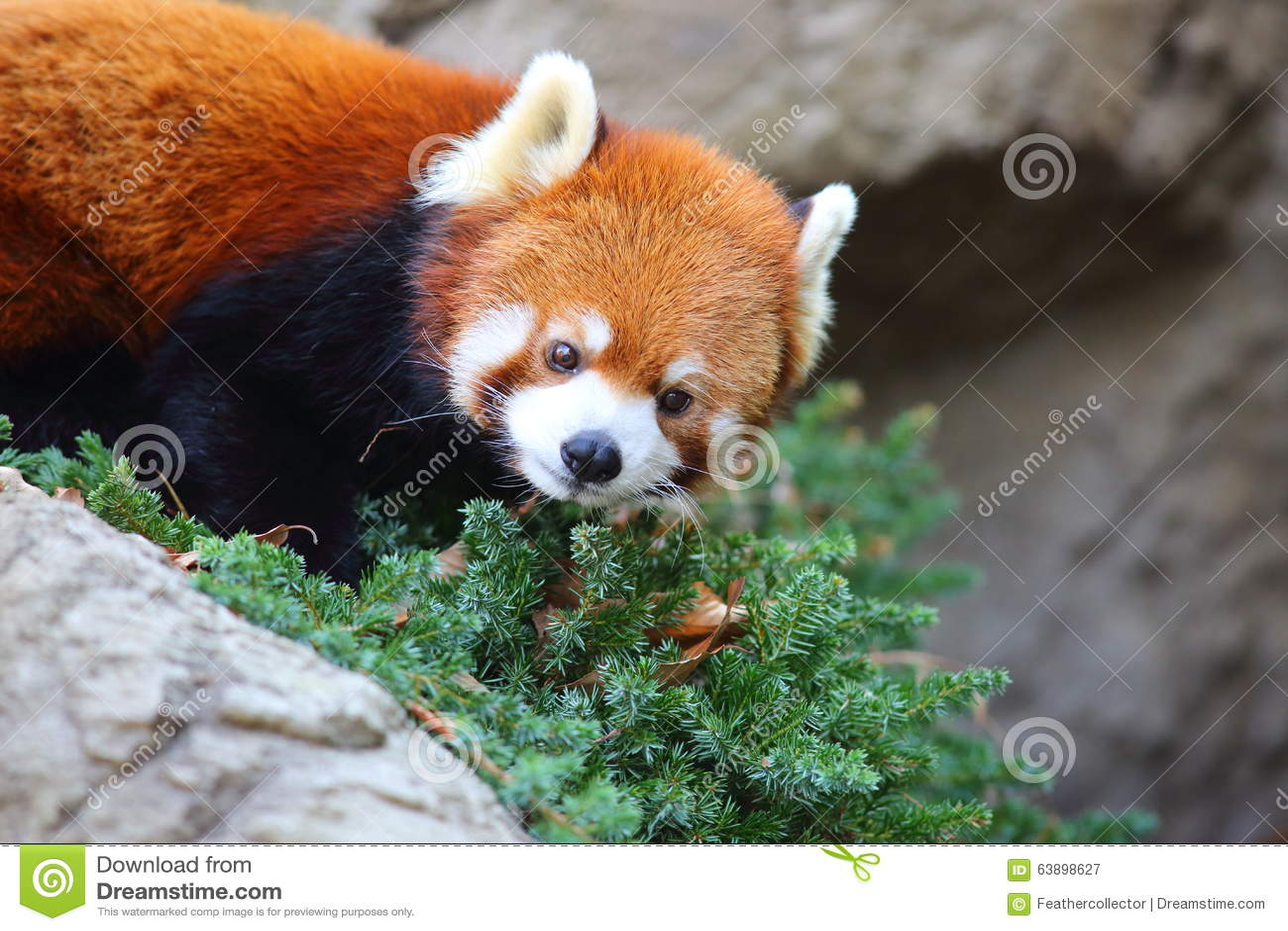 Bär des roten Pandas