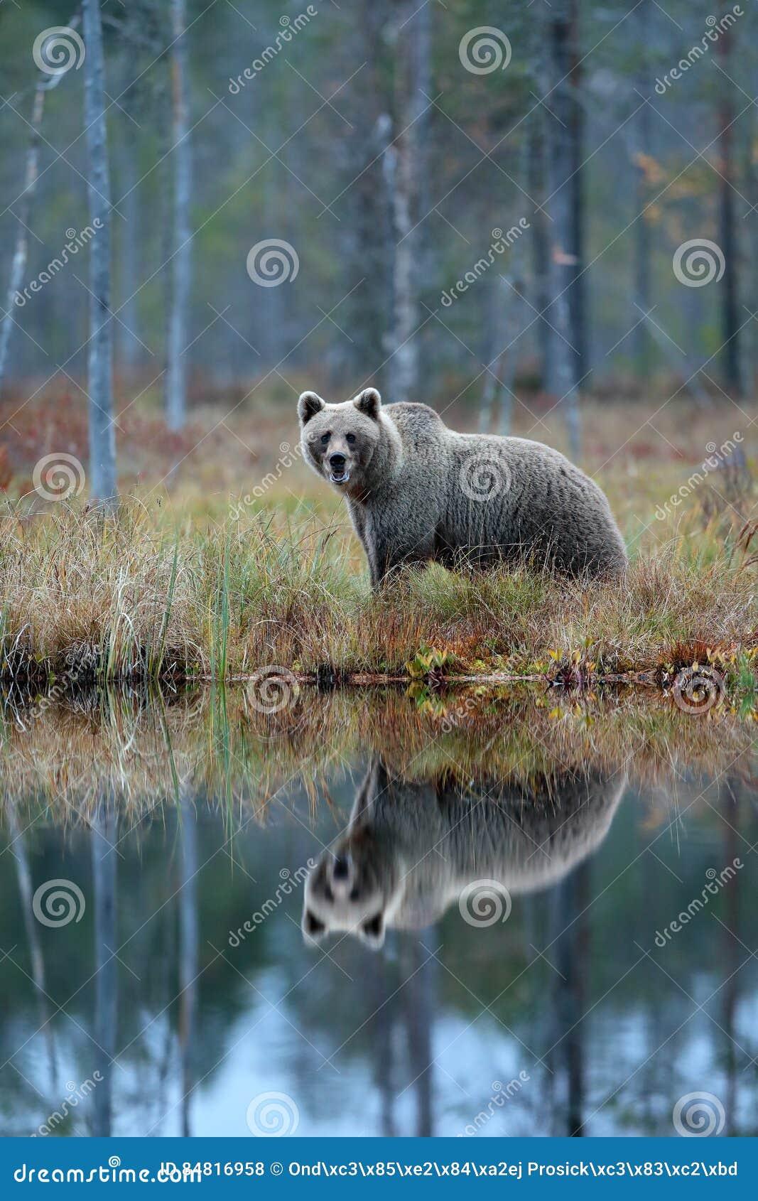Bär Mit Reflexion Im Wasser Großer Braunbär Der Um See Mit
