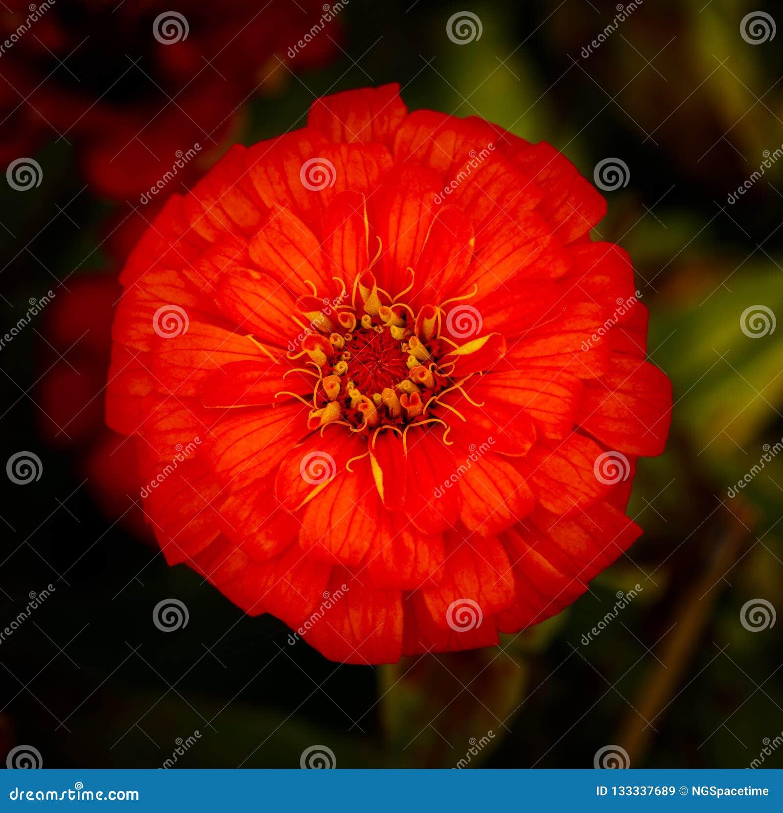 Bästa sikt av en blommande röd kosmosblomma