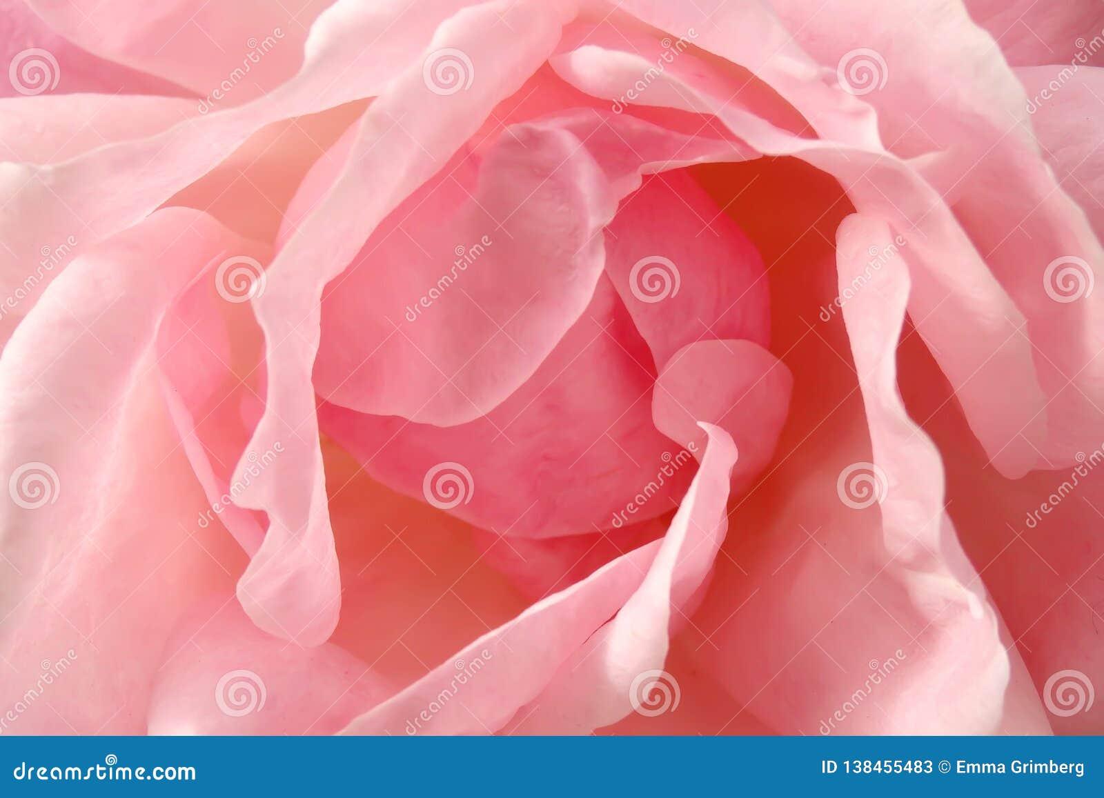 Bästa sikt för makro på delikata kronblad av en rosa rosa blomma