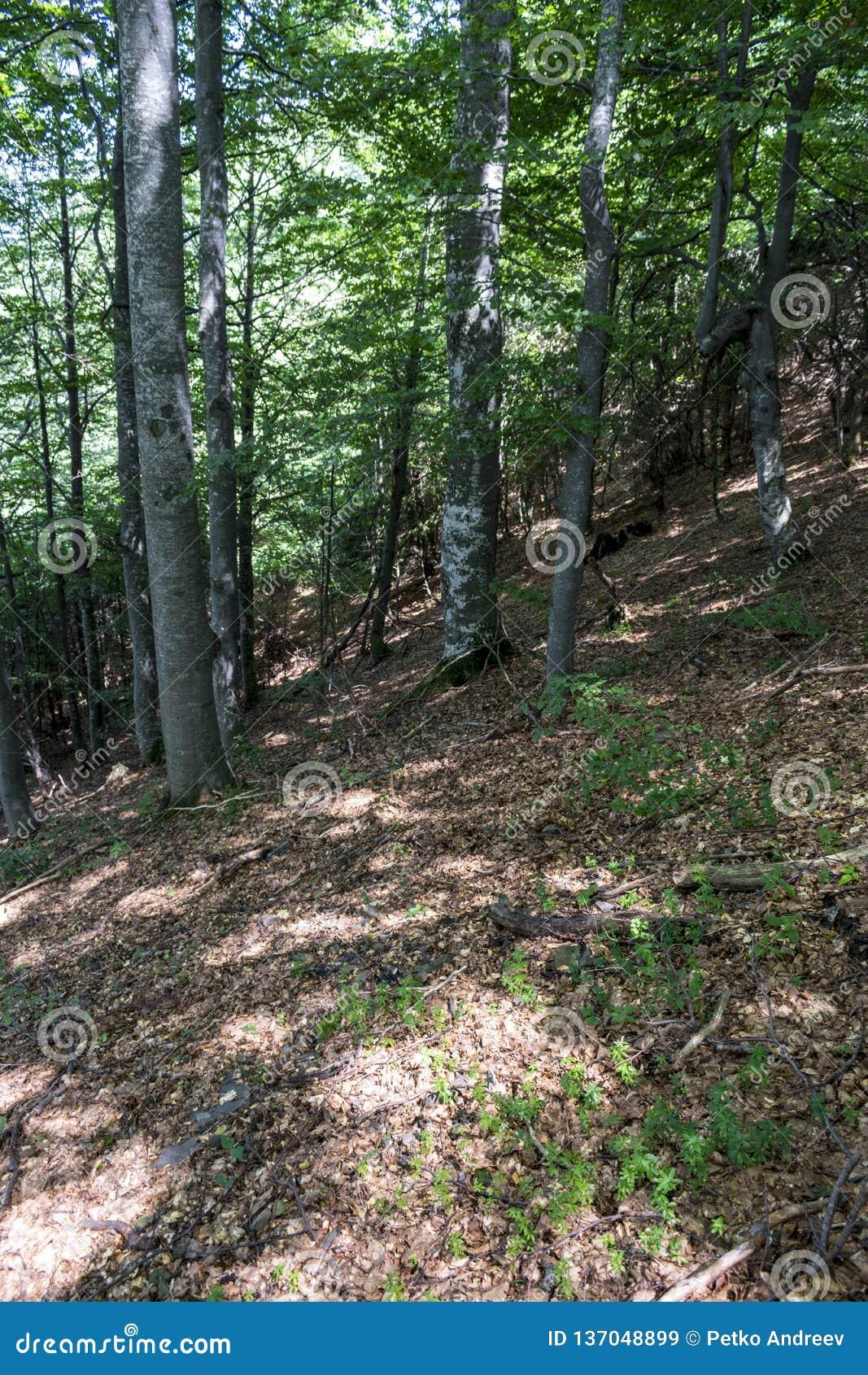 Bäume mit interessanten Formen am Wald auf dem Weg zu Kozya-stena Hütte Der Berg im Mittel-Balkan erstaunt mit seinem