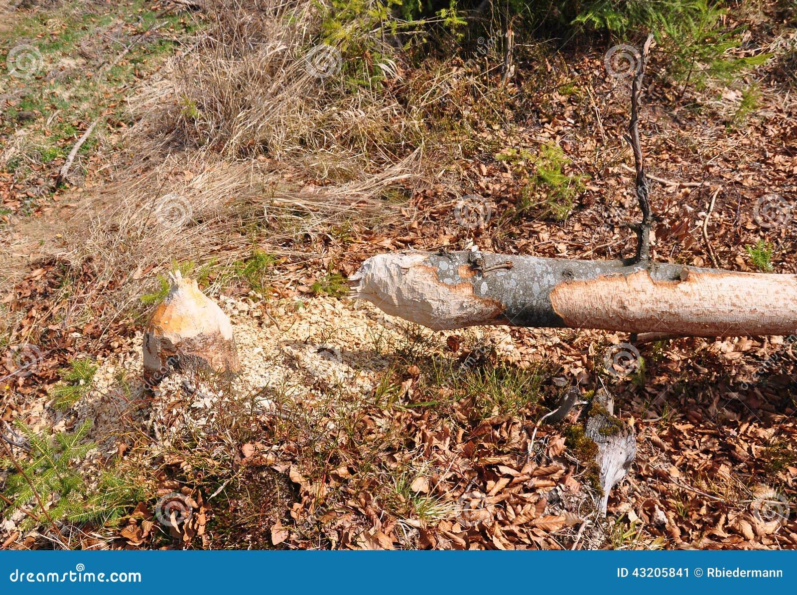 Download Bäverträd fotografering för bildbyråer. Bild av rodent - 43205841