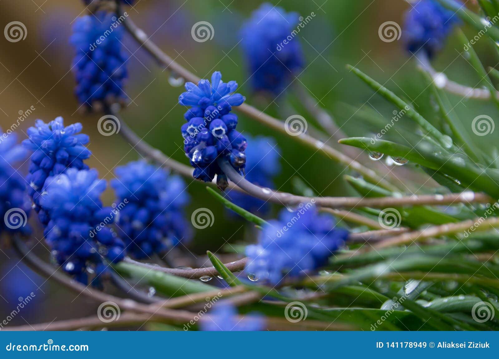 Błękit Kwitnie z rosa kroplami