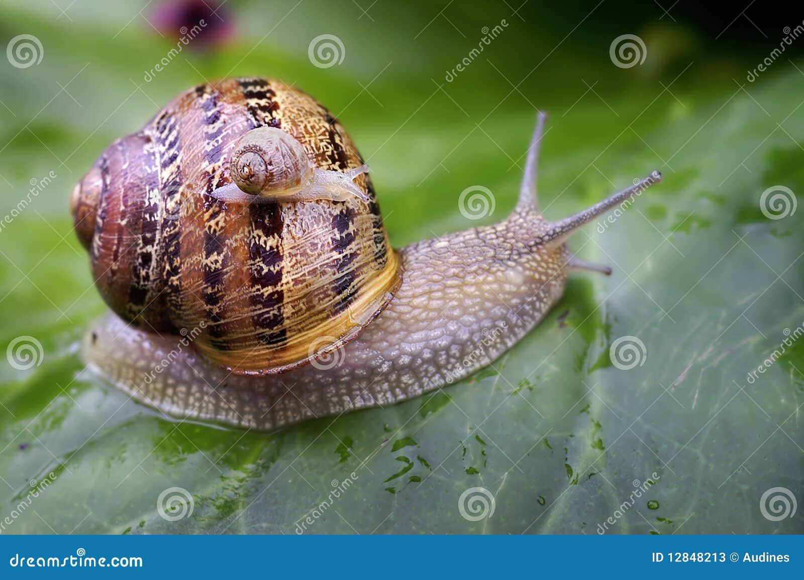 Bébé escargot