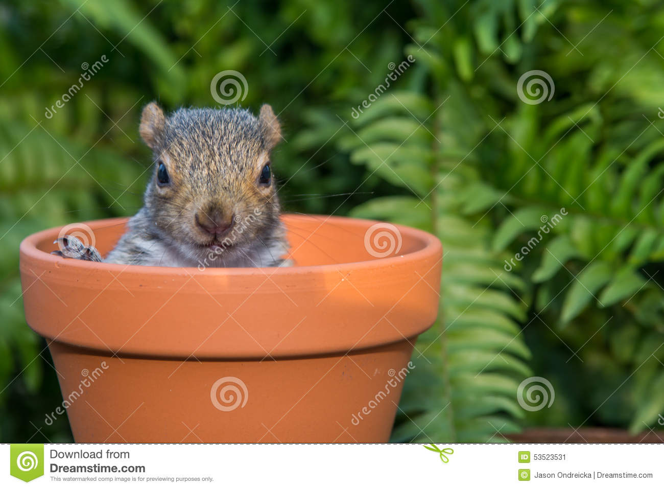 Bébé Gray Squirrel