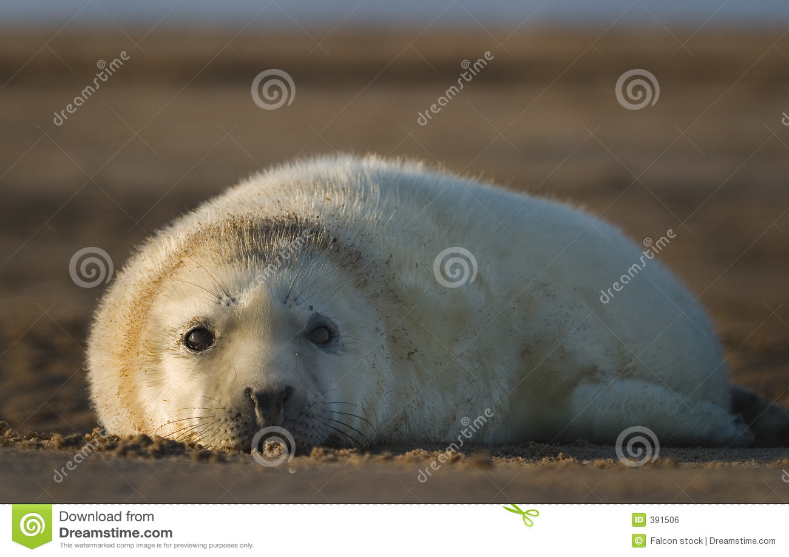 Bébé phoque gris atlantique
