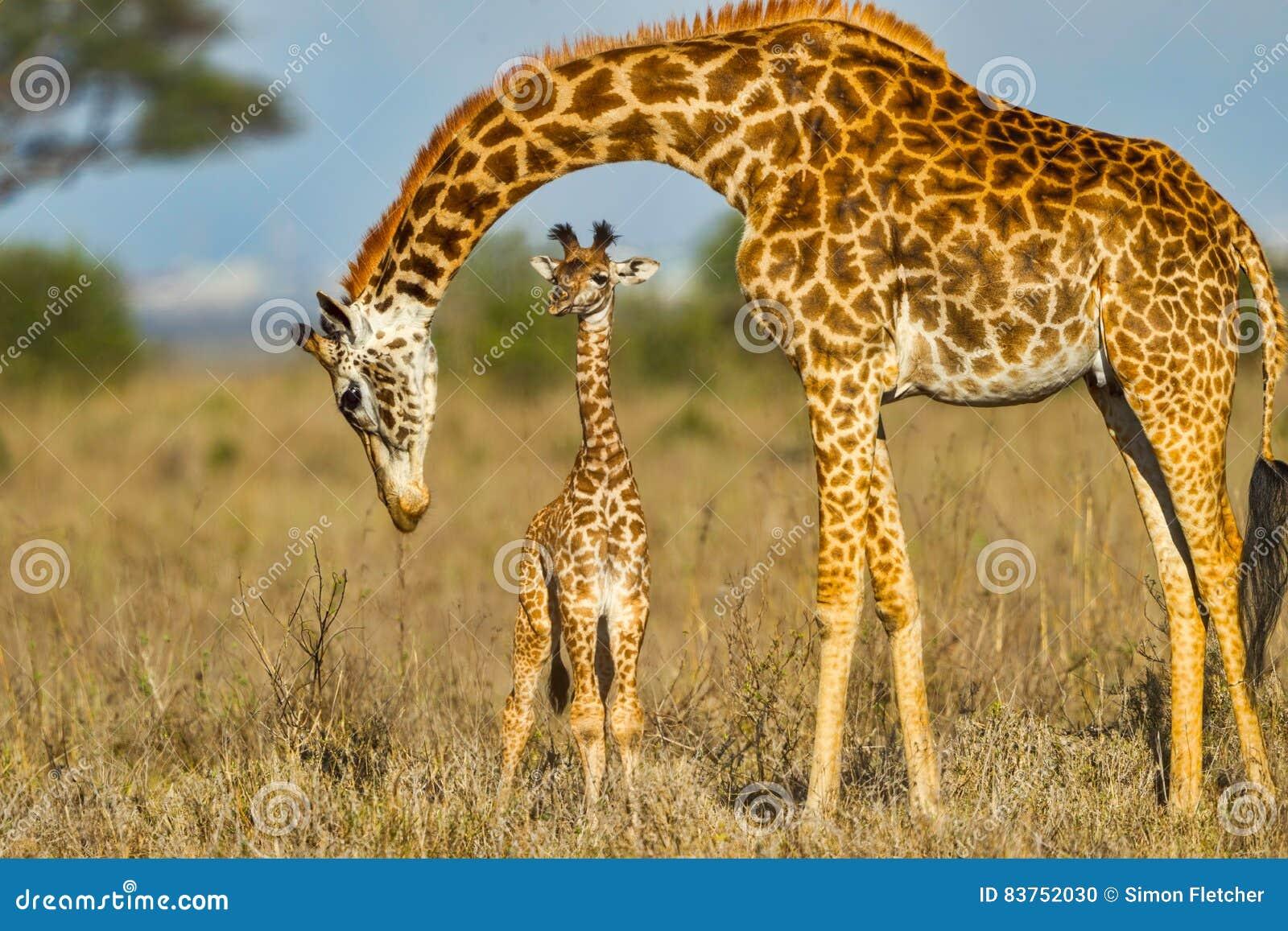 Bébé protecteur de girafe de masai de mère