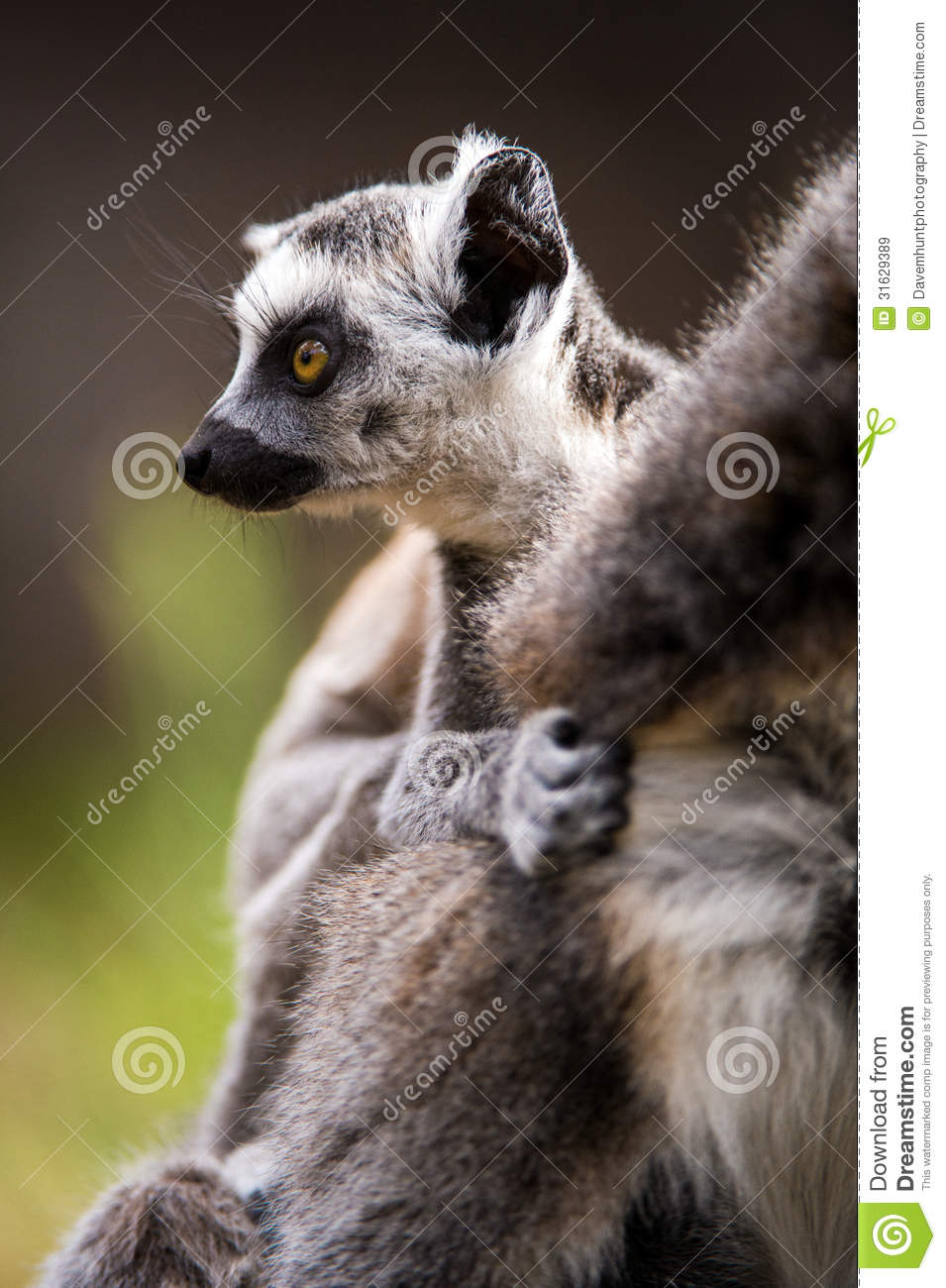 Bébé Ring Tailed Lemur