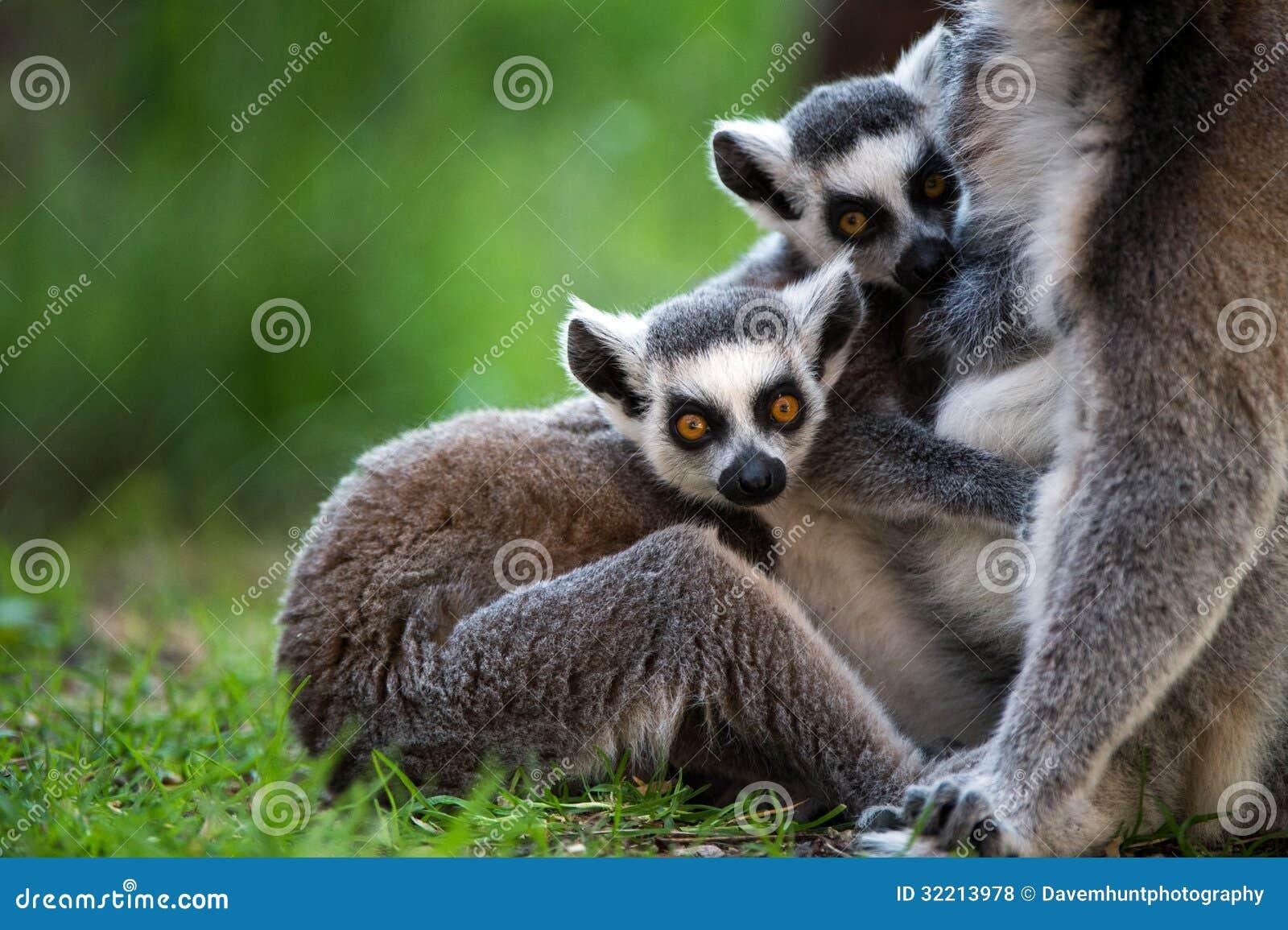 Bébé Ring Tailed Lemur