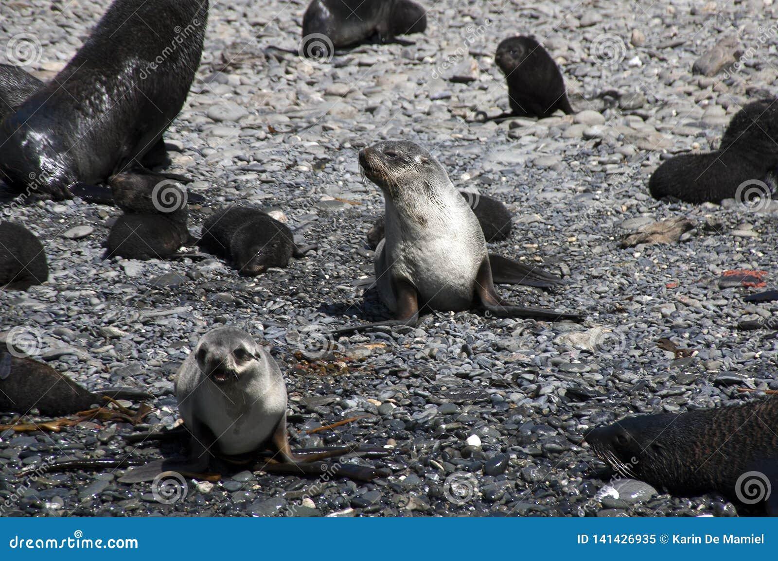 Bébés phoques de fourrure sur la plage