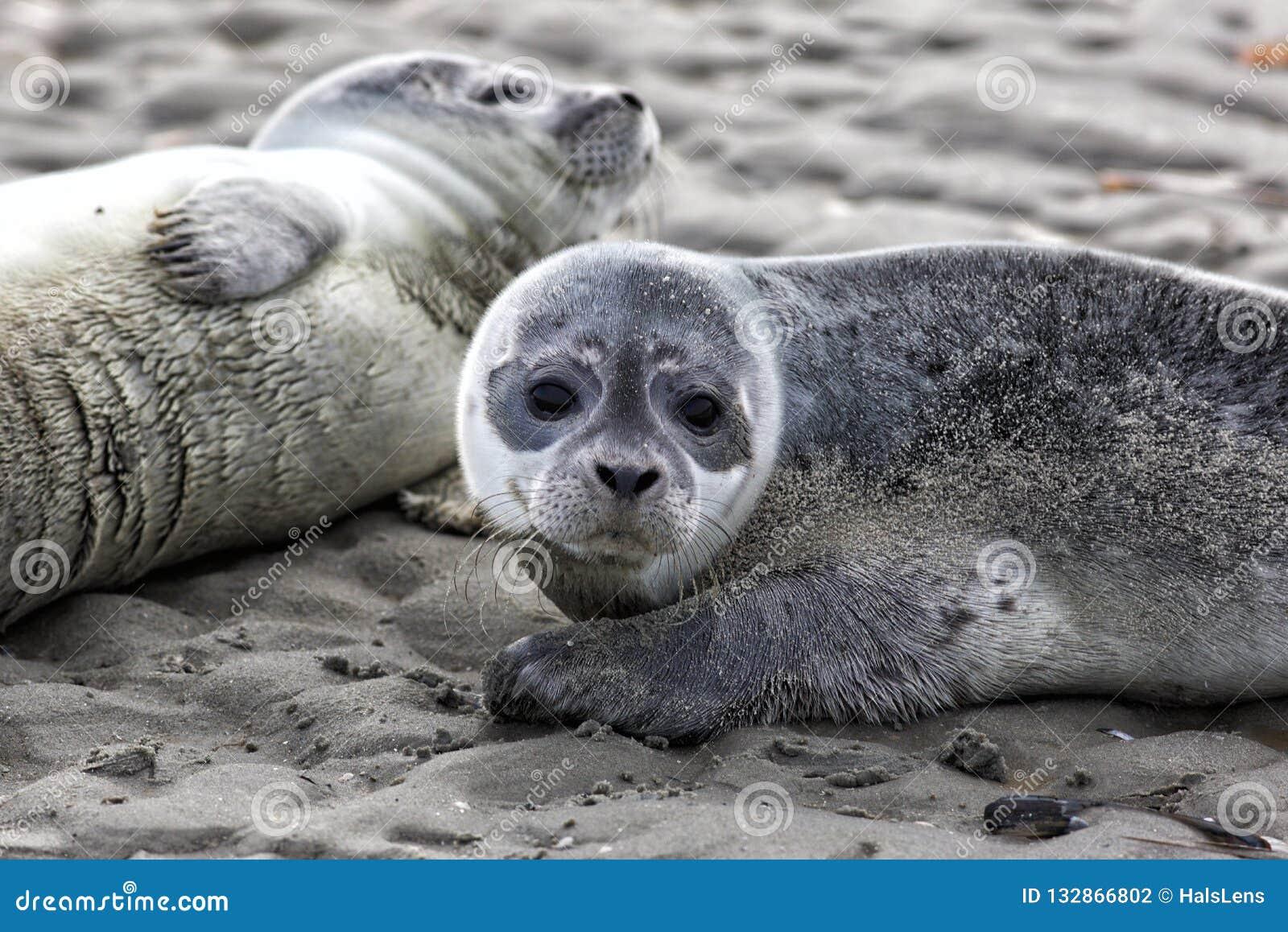 Bébés phoques de port