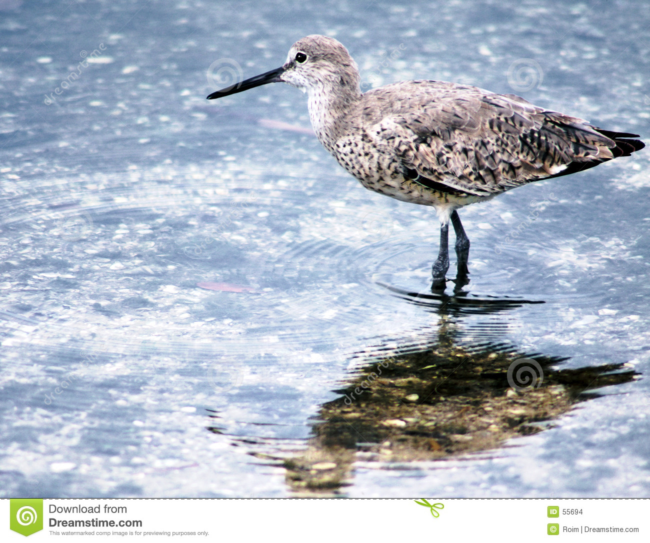 Download Bécasseau photo stock. Image du refection, nature, piper - 55694