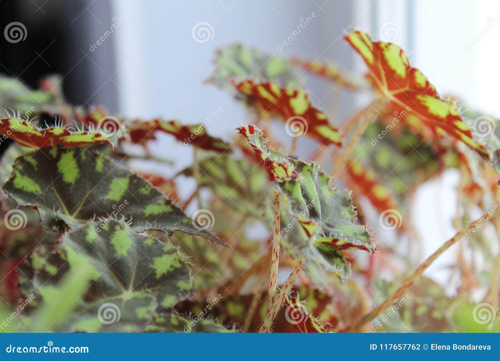 Bégonia de tigre, feuillage de bégonia, plantes d intérieur de Bauer-photo de bégonia