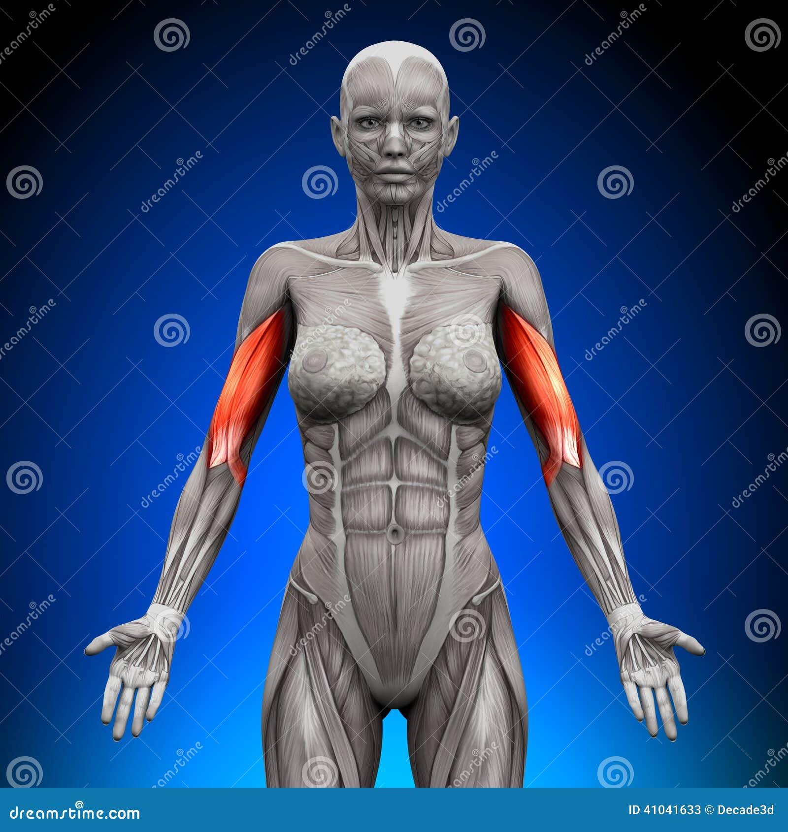 Bíceps - Músculos Femeninos De La Anatomía Stock de ilustración ...