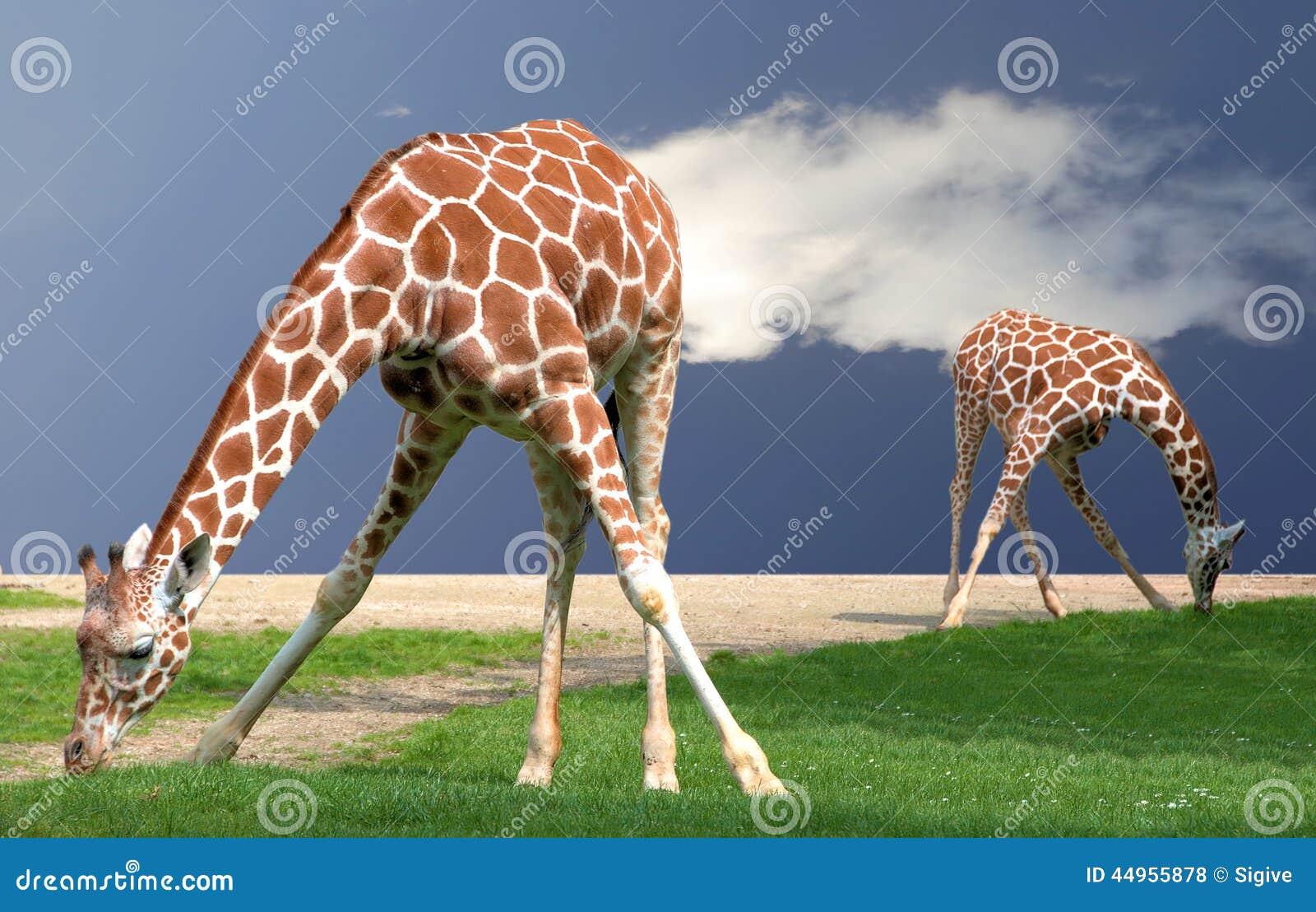 Böja för giraff