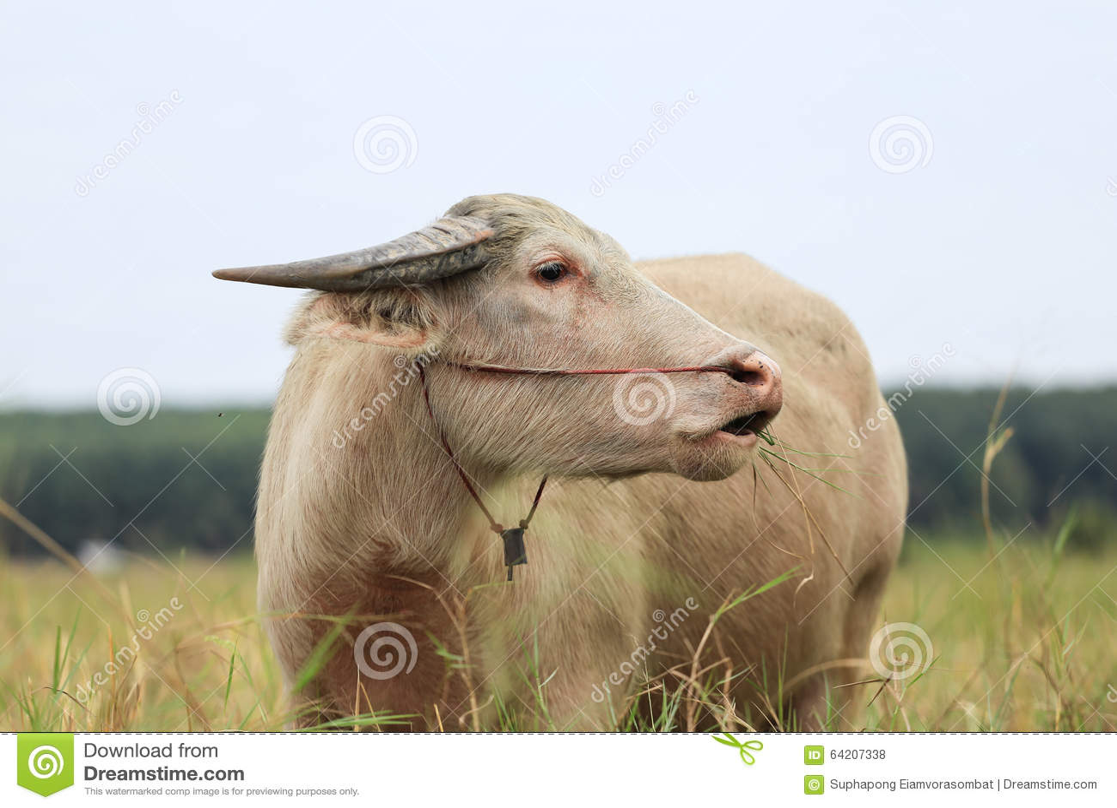Búfalo blanco tailandés