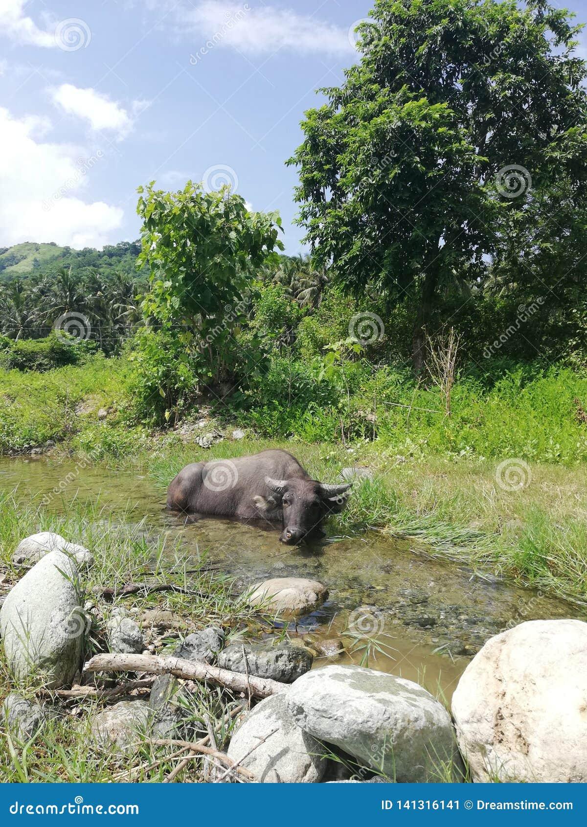 Búfalo de anão bonito que refrigera-se em uma angra