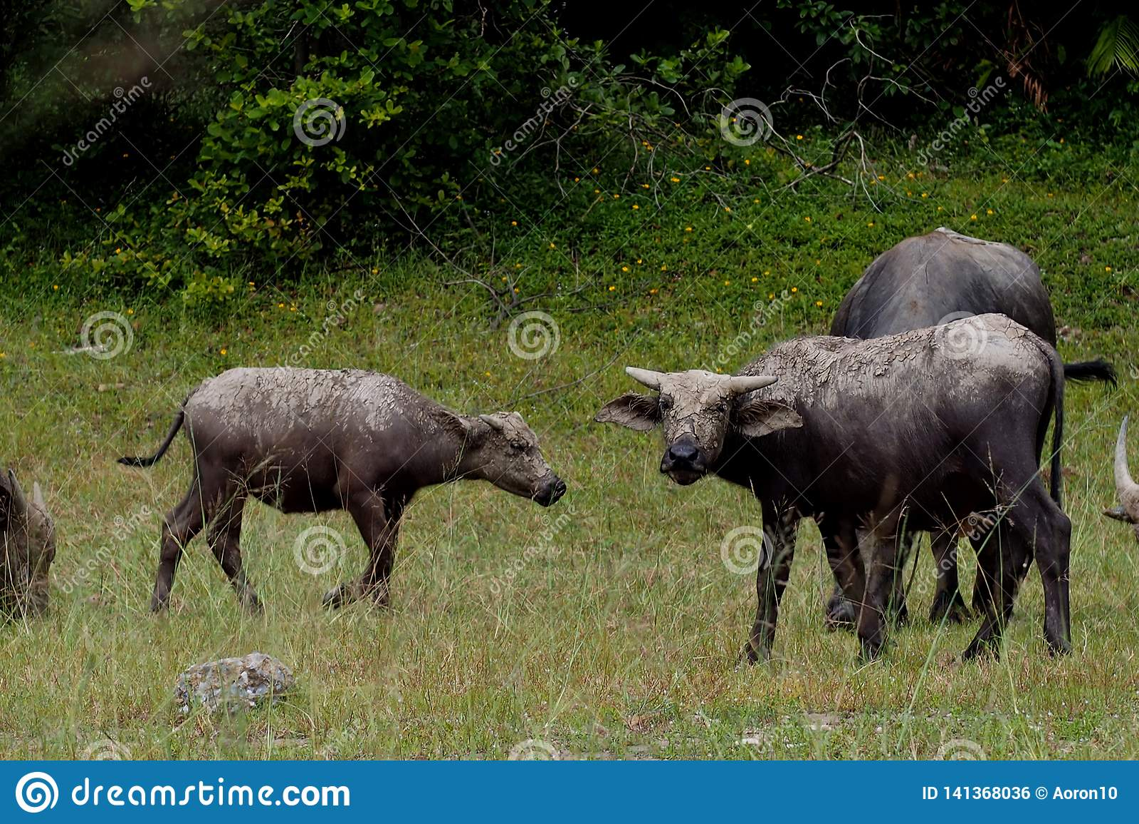 Búfalo en el fango e hierba de la consumición en el pasto cerca del salvaje