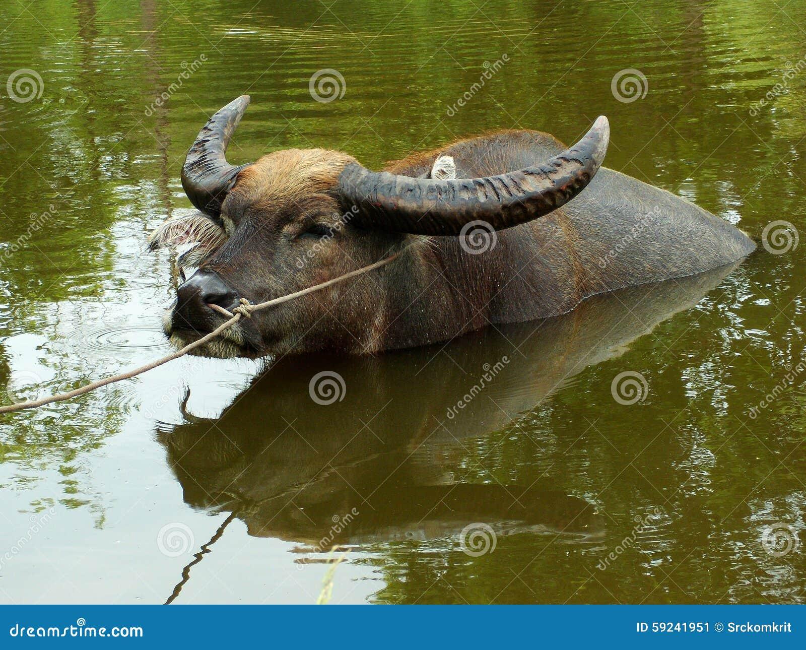 Download Búfalo En La Charca De Tailandia Imagen de archivo - Imagen de ganados, asia: 59241951