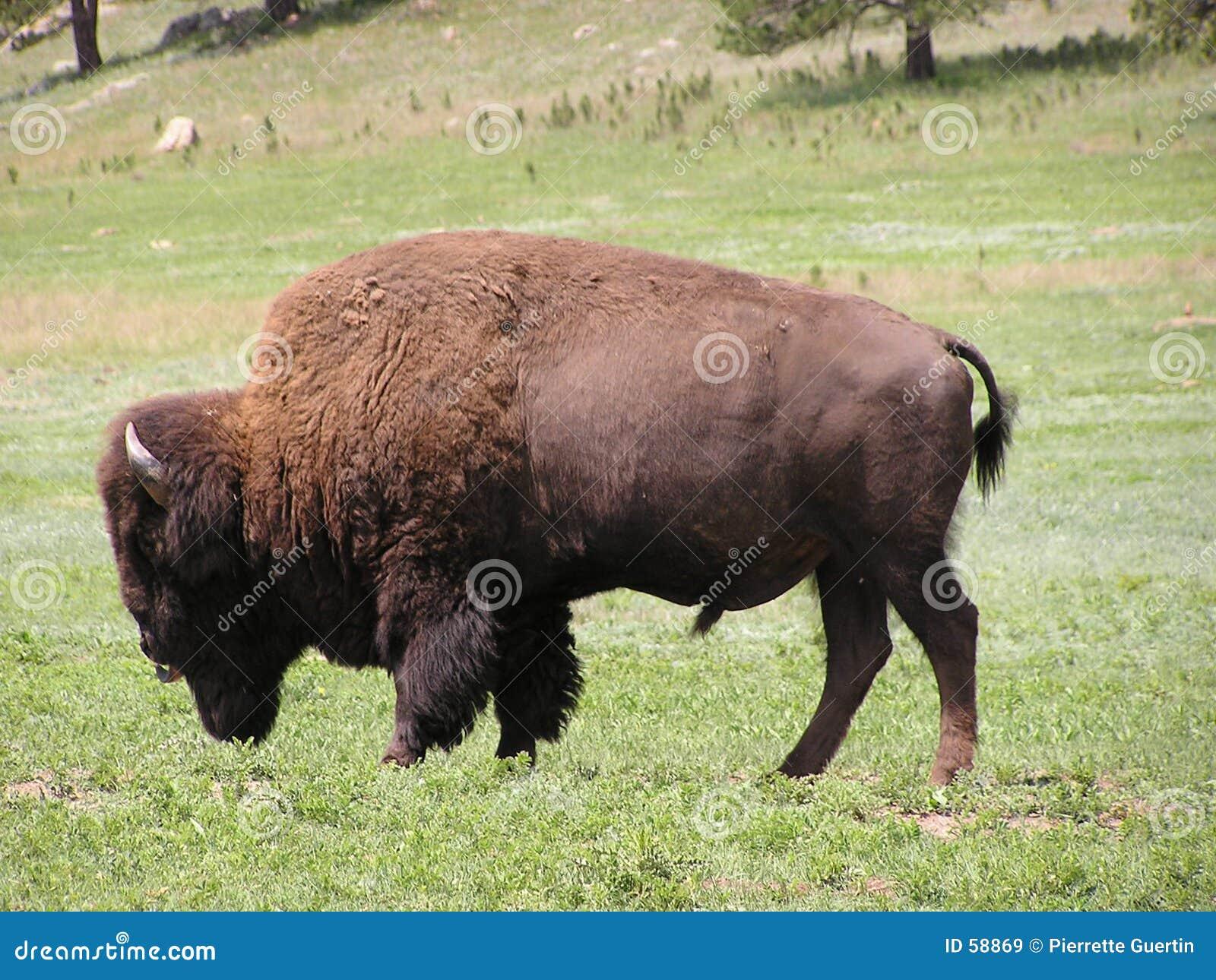 Búfalo o bisonte