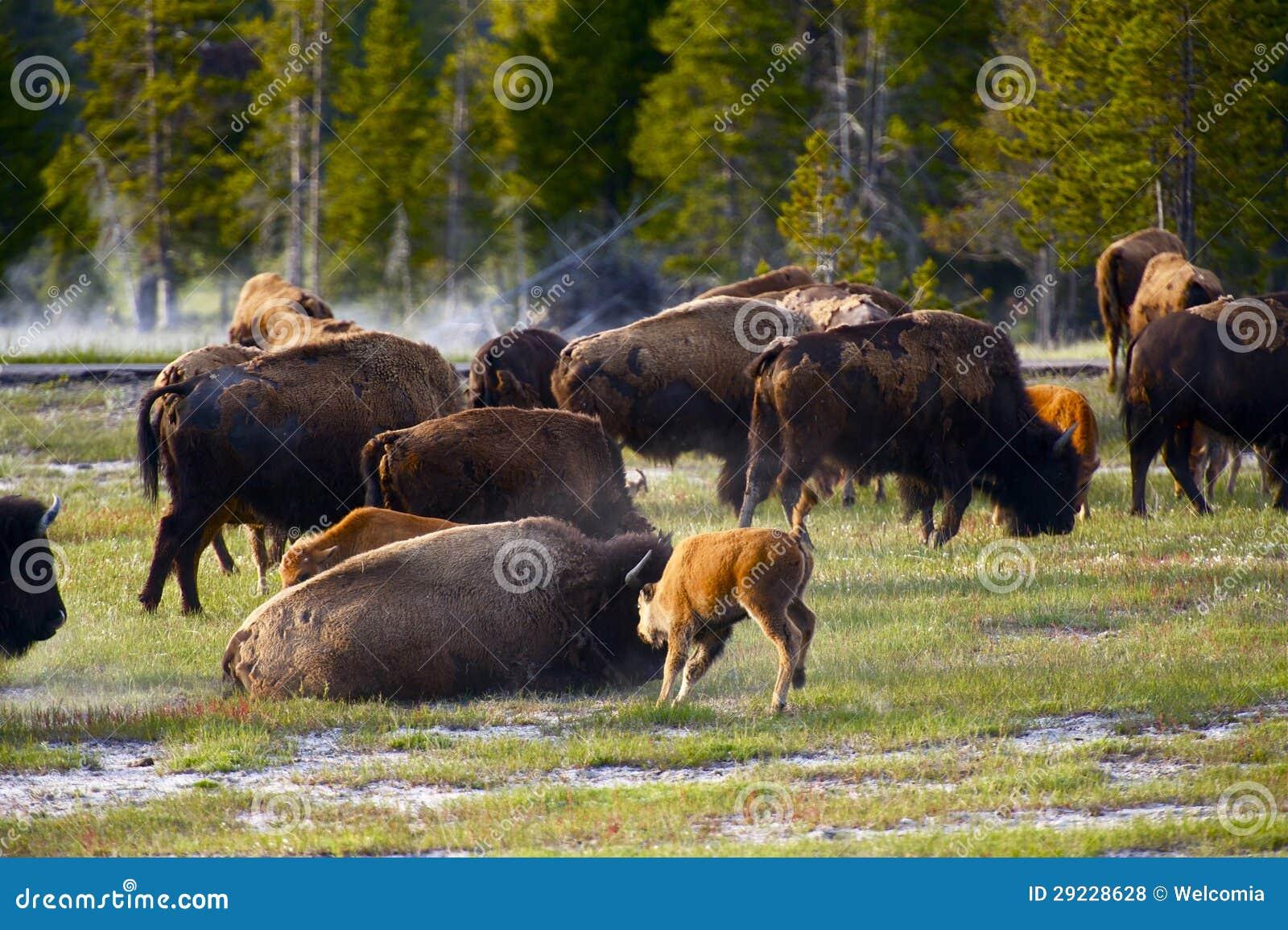Download Búfalos de Wyoming foto de stock. Imagem de região, naturalizado - 29228628