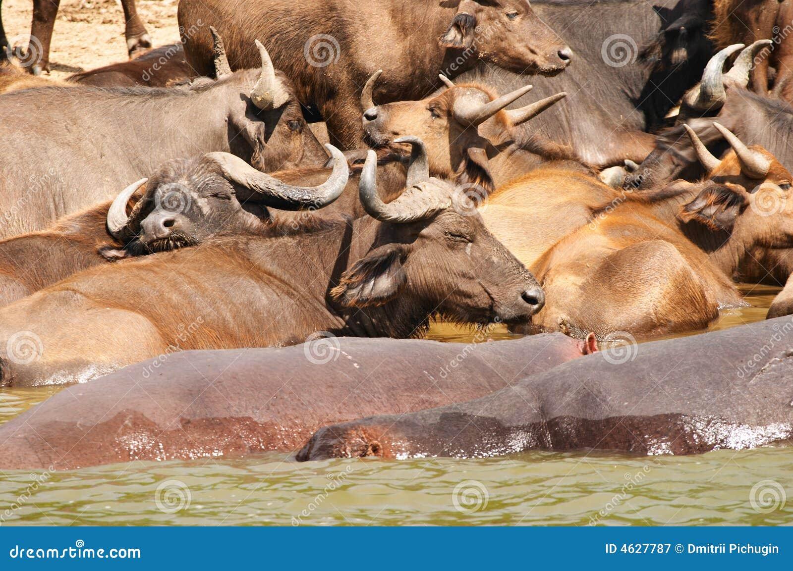 Búfalos e hipopótamos