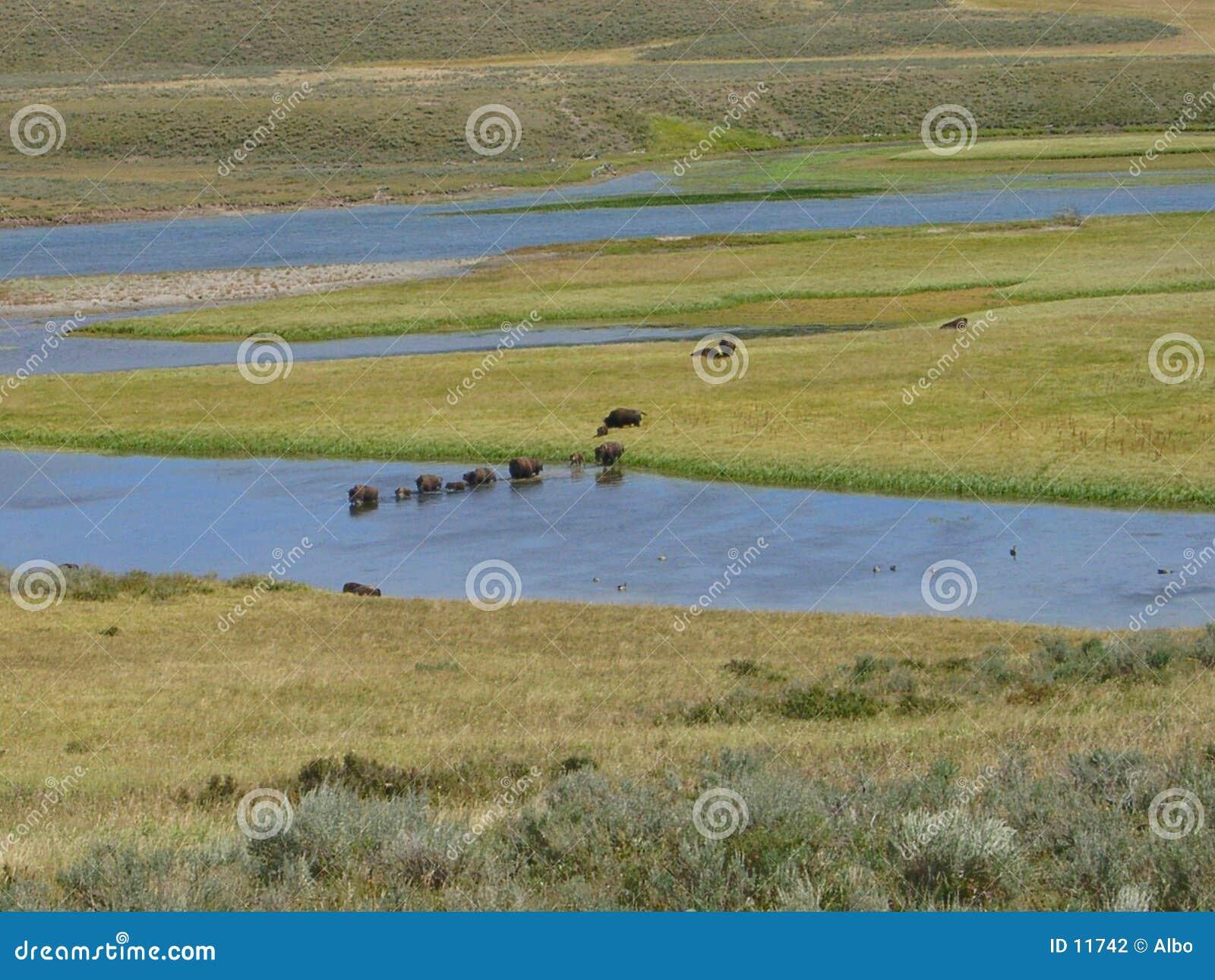 Búfalos em Yellowstone