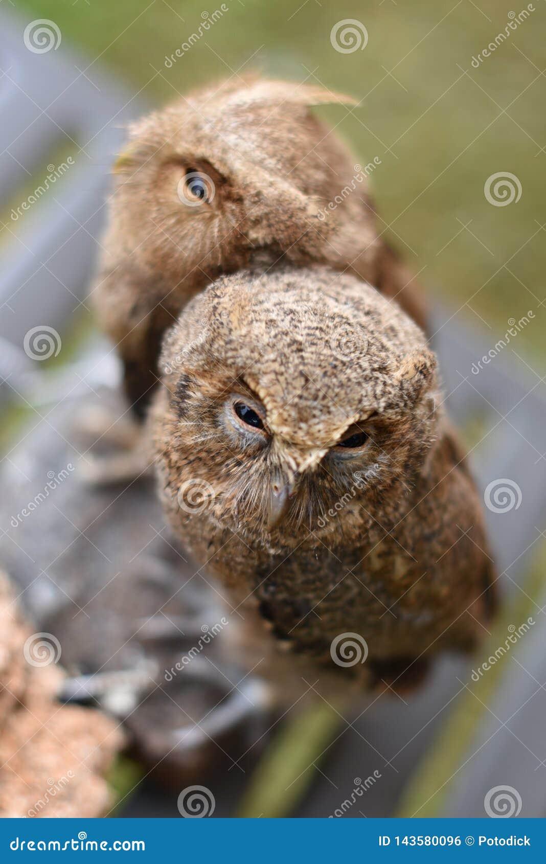 Búhos Javanese con el búho de Scops del Wallace latino del nombre
