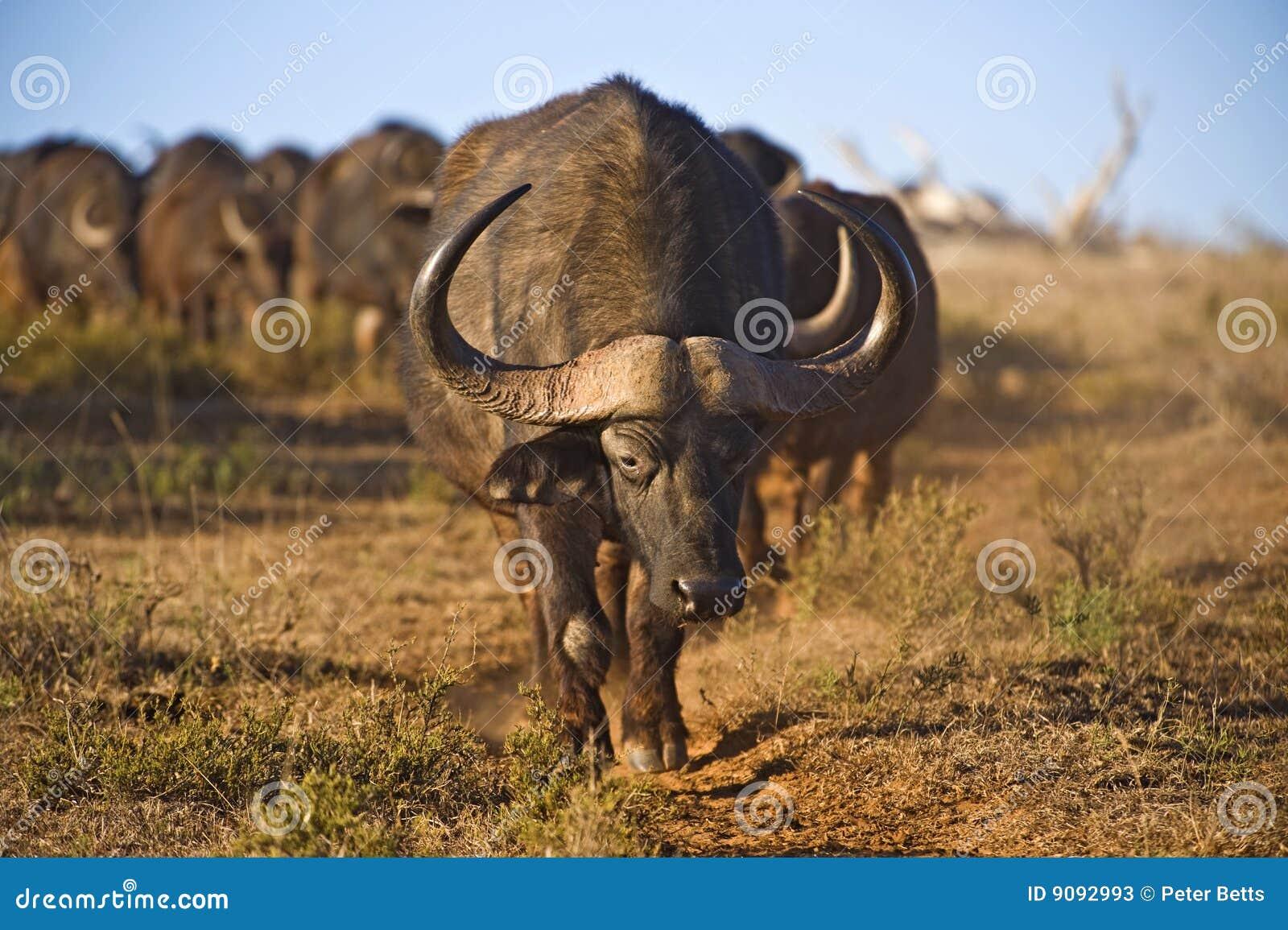 Büffel März