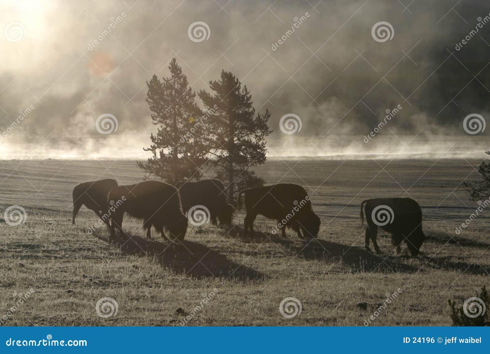 Büffel-Morgen